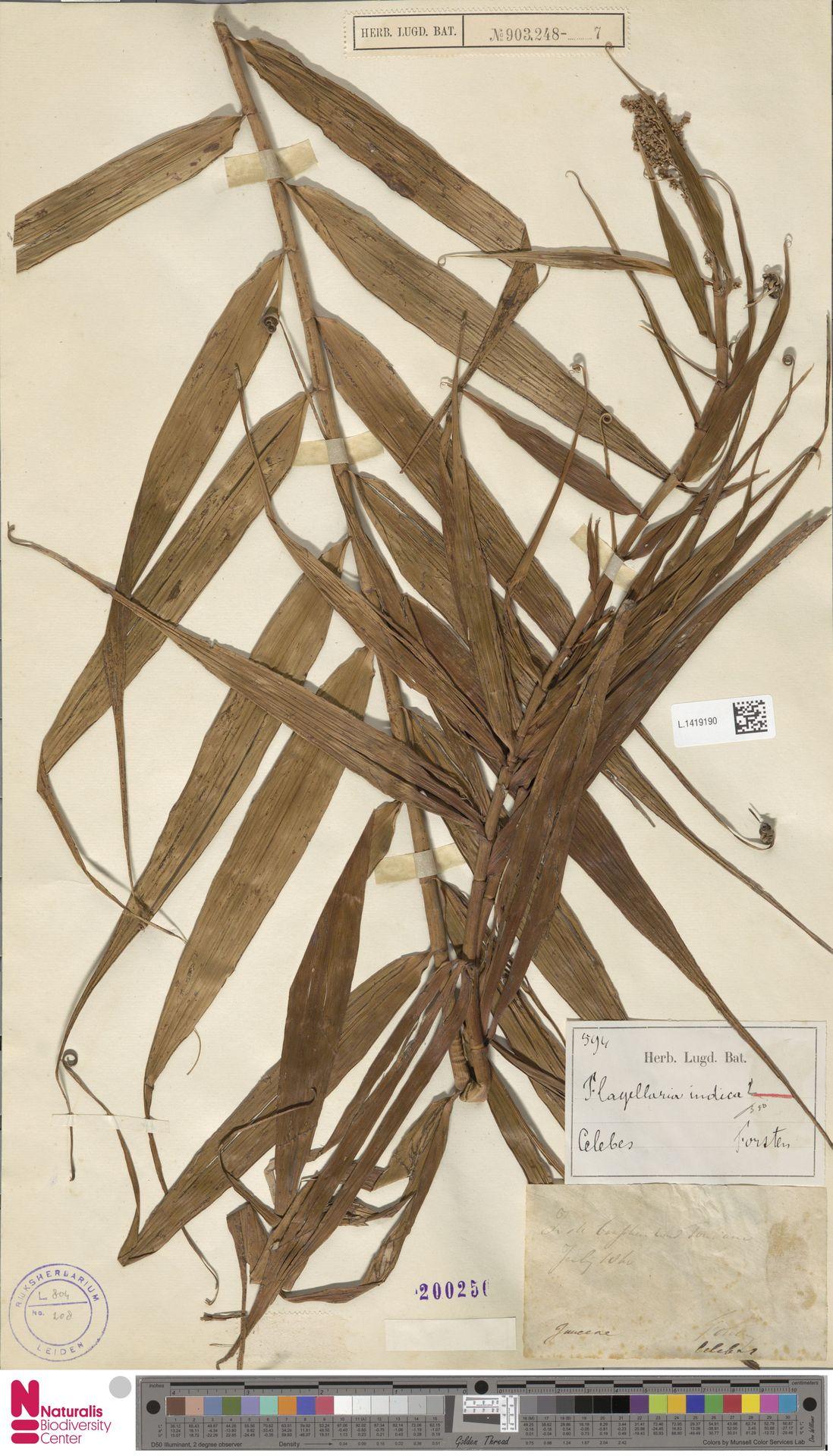 L.1419190 | Flagellaria indica L.