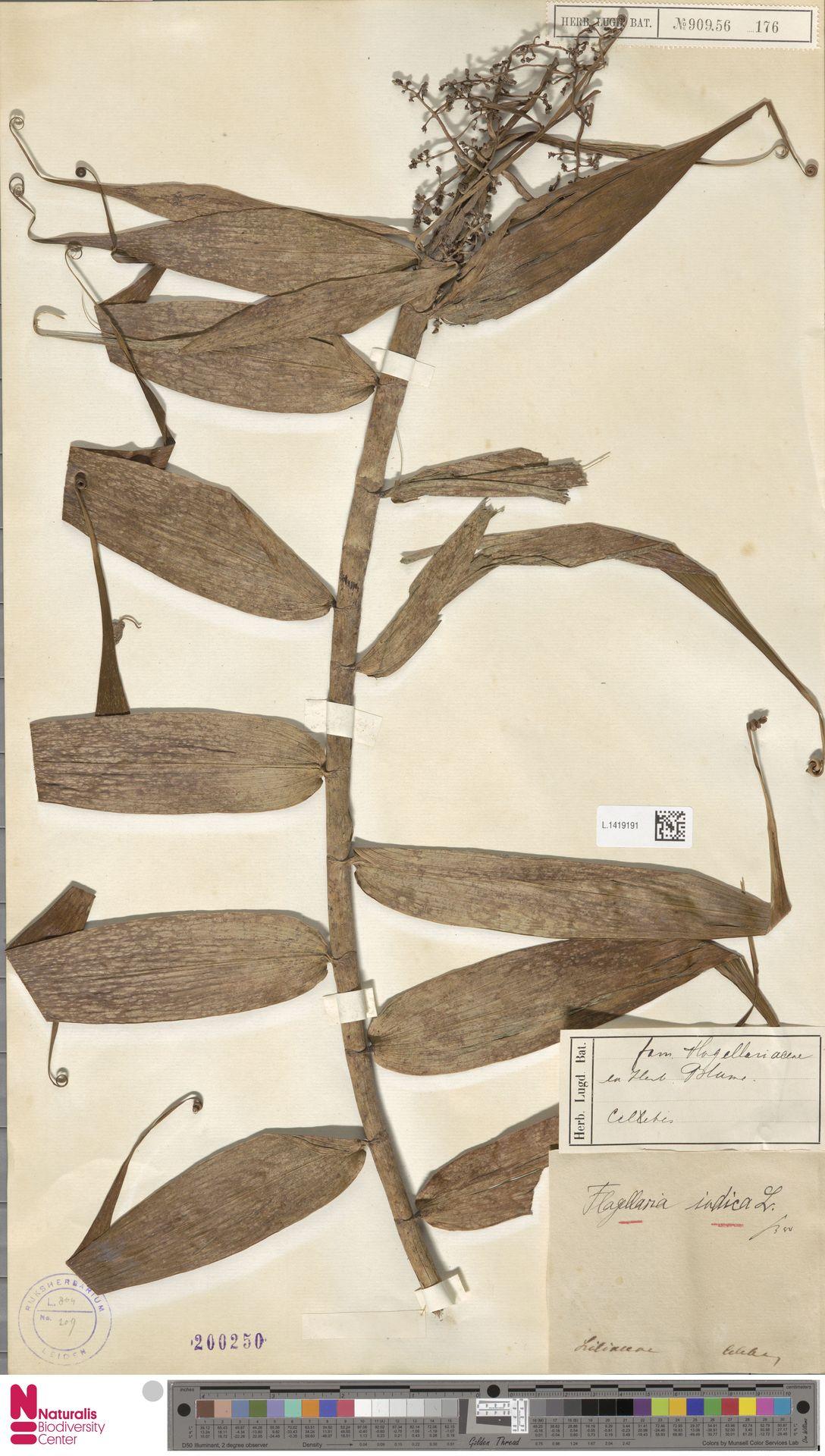 L.1419191 | Flagellaria indica L.