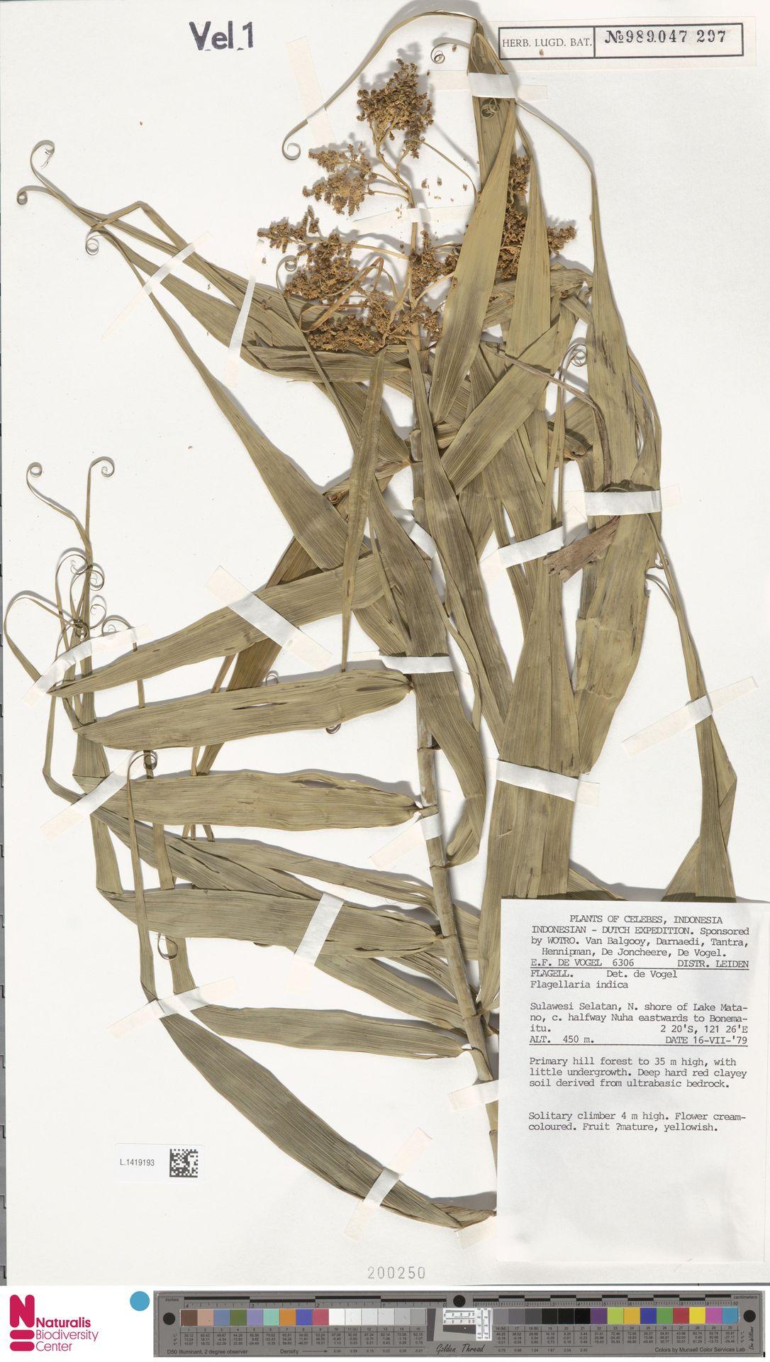 L.1419193 | Flagellaria indica L.