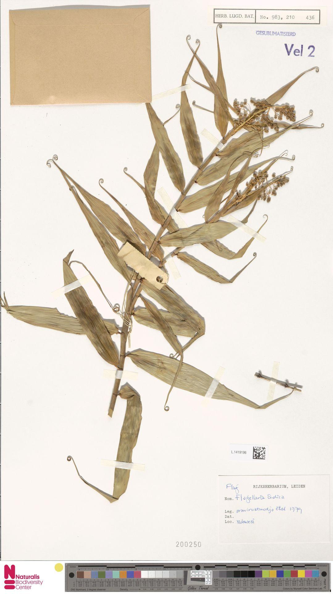 L.1419196 | Flagellaria indica L.