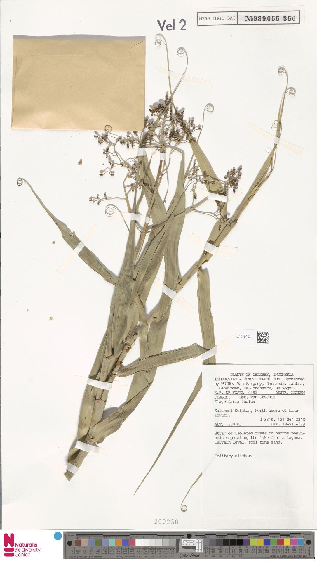 L.1419204 | Flagellaria indica L.