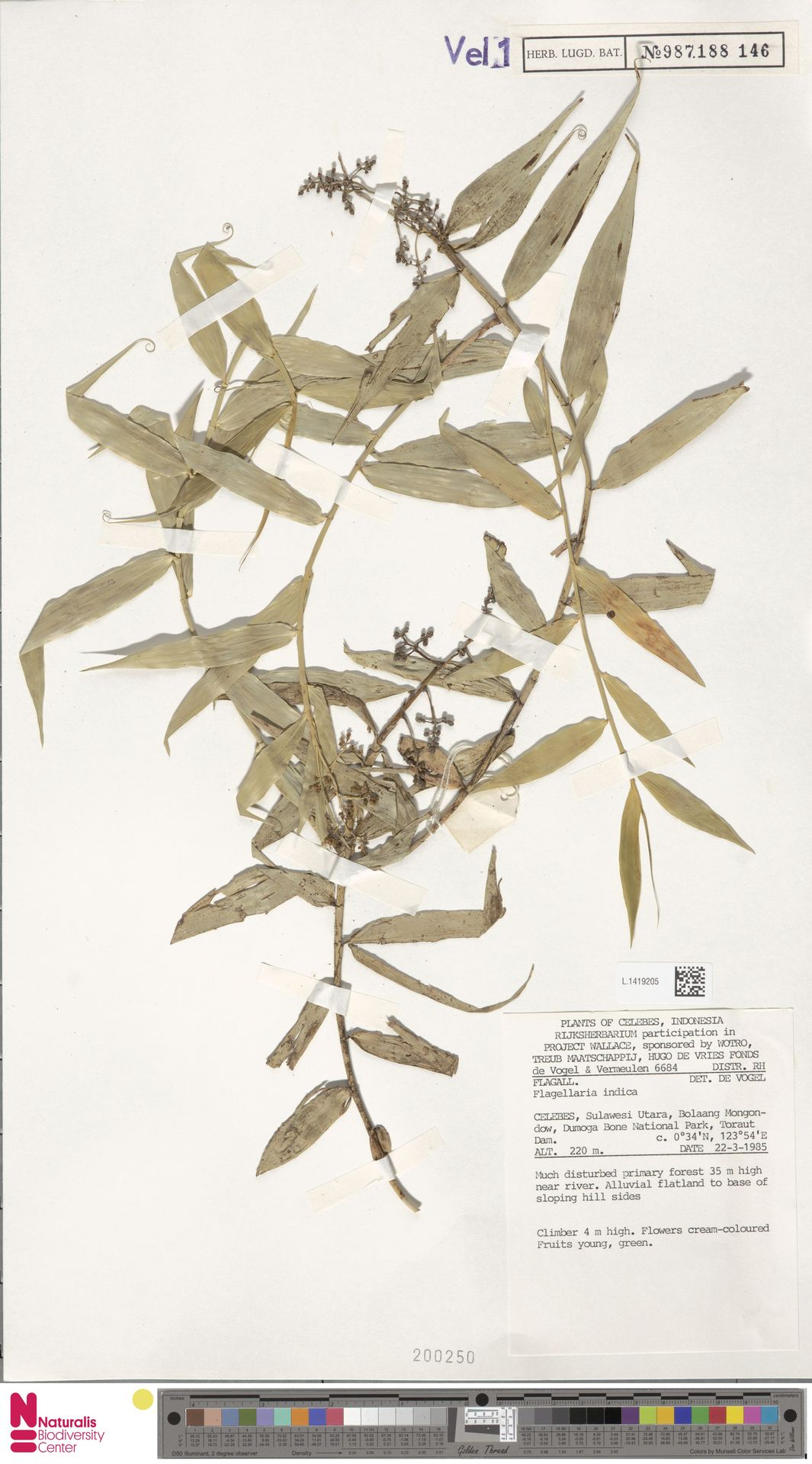 L.1419205 | Flagellaria indica L.