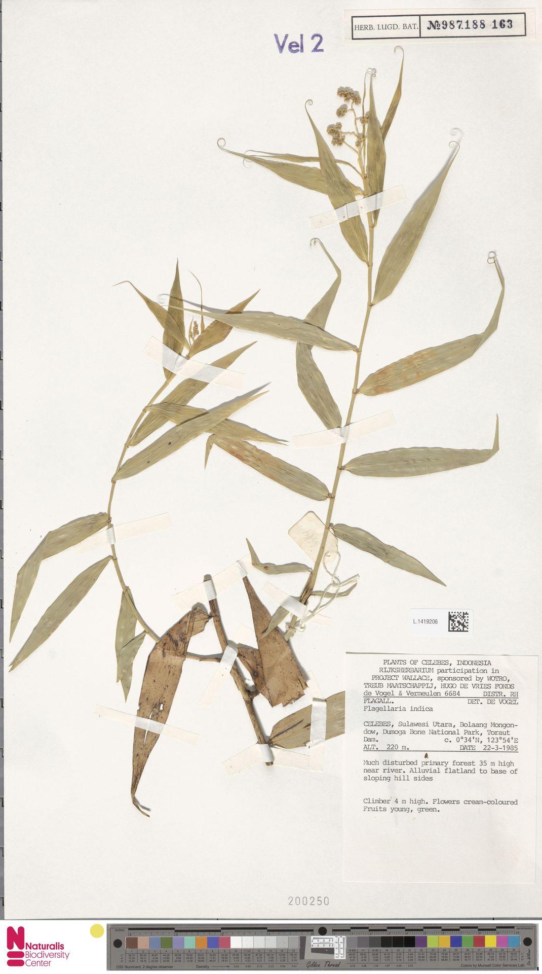 L.1419206 | Flagellaria indica L.