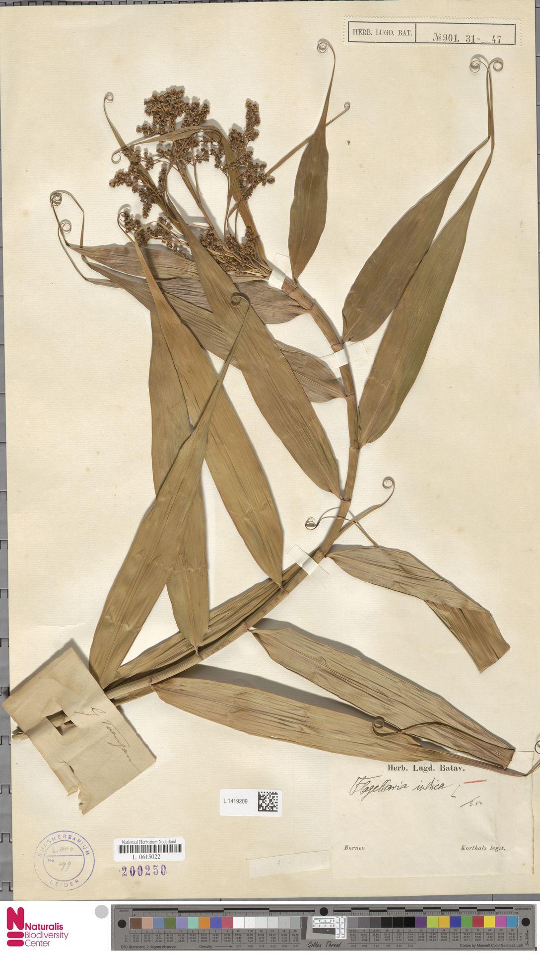 L.1419209   Flagellaria indica L.