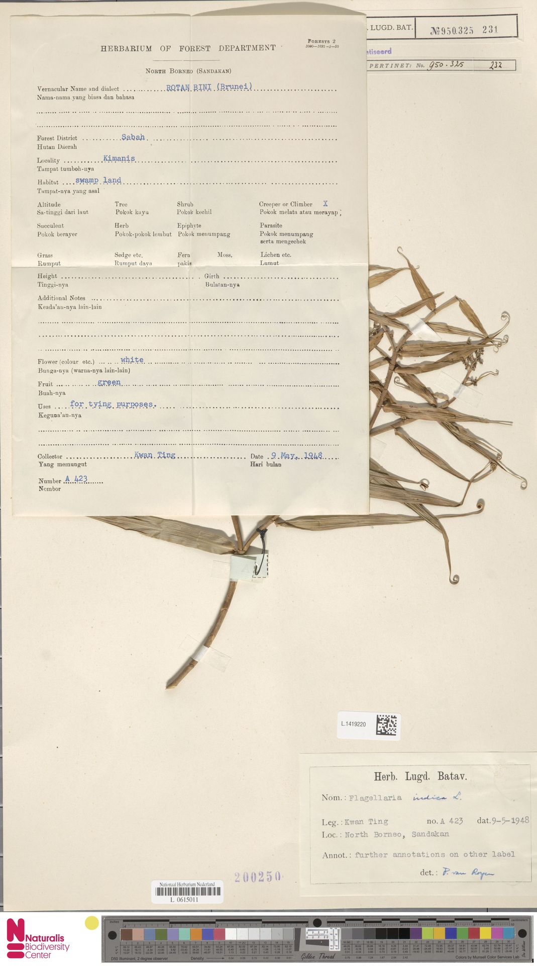 L.1419220 | Flagellaria indica L.