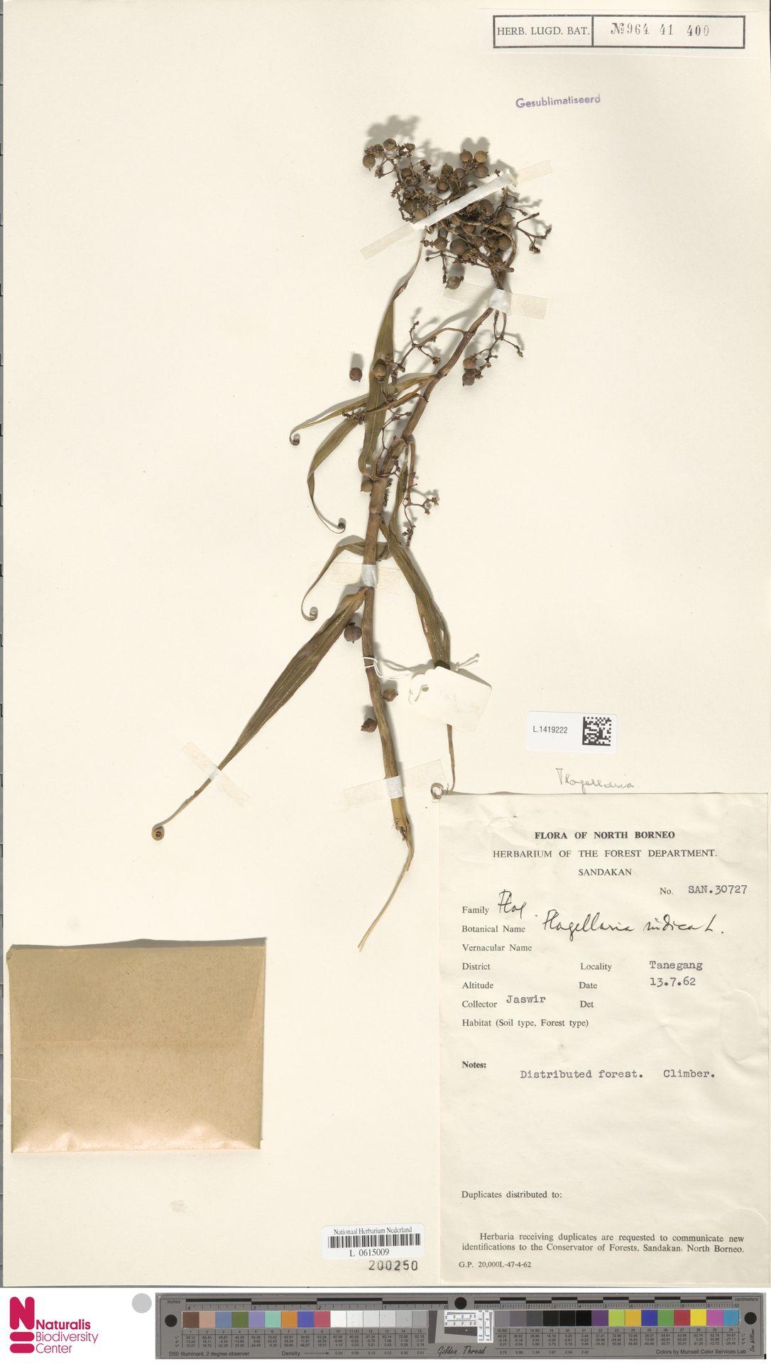 L.1419222 | Flagellaria indica L.