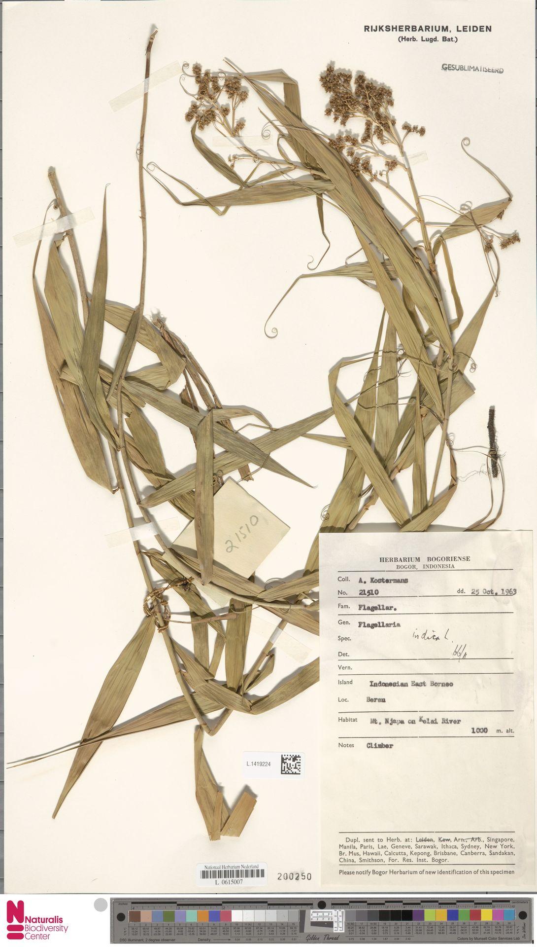 L.1419224 | Flagellaria indica L.