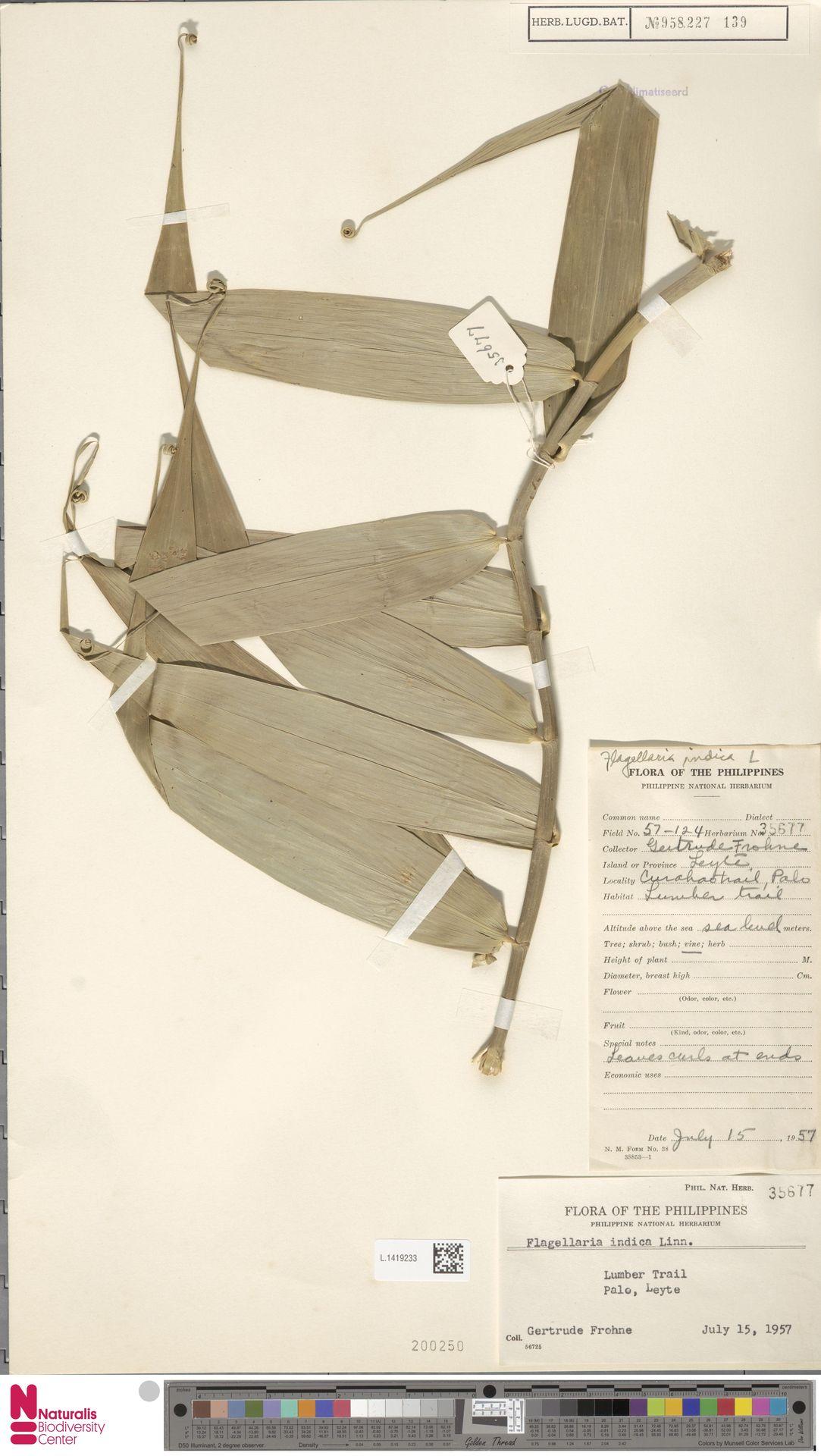L.1419233 | Flagellaria indica L.