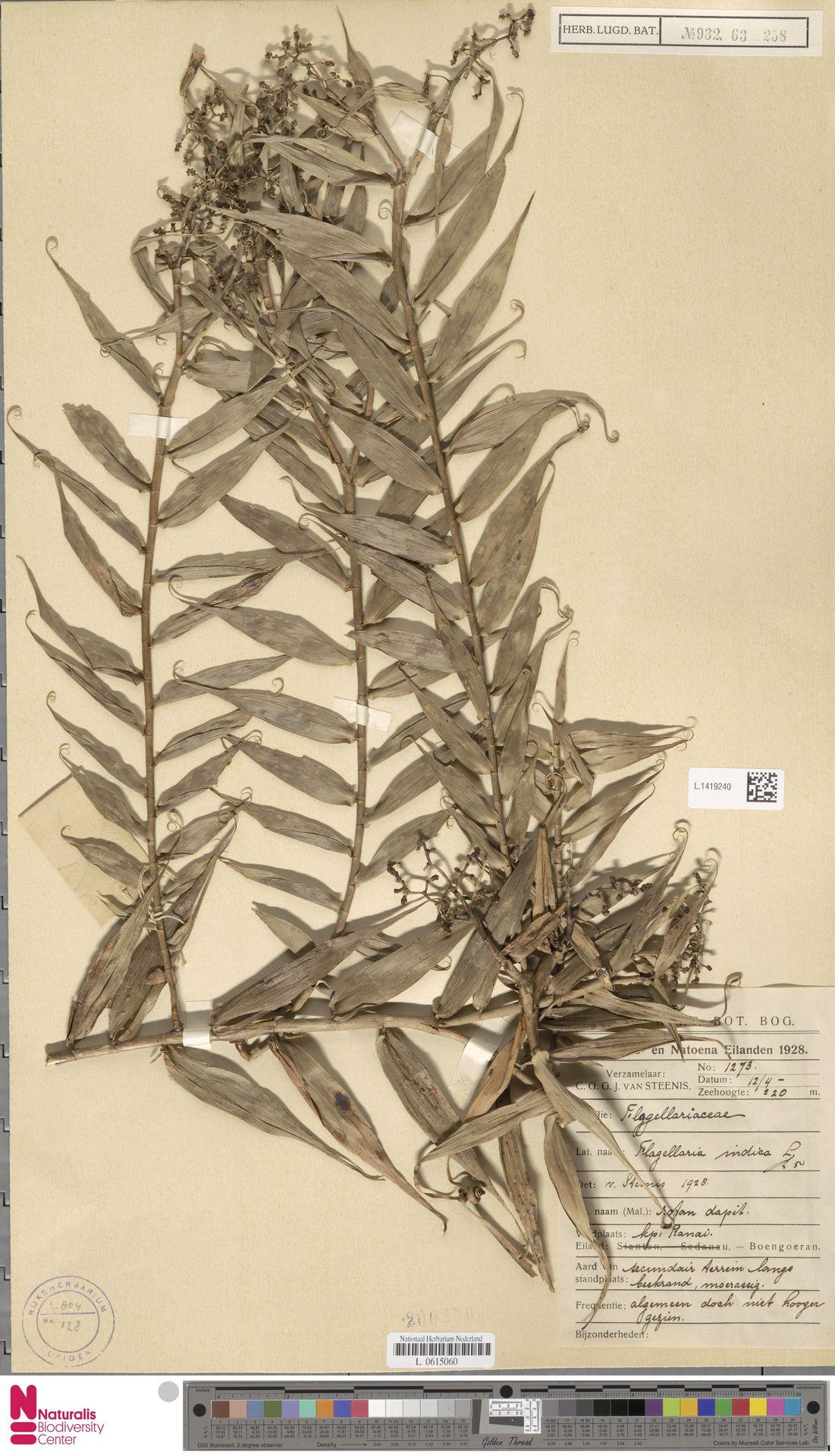L.1419240 | Flagellaria indica L.