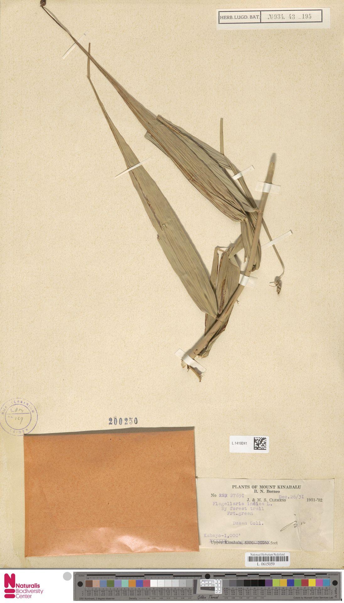 L.1419241 | Flagellaria indica L.