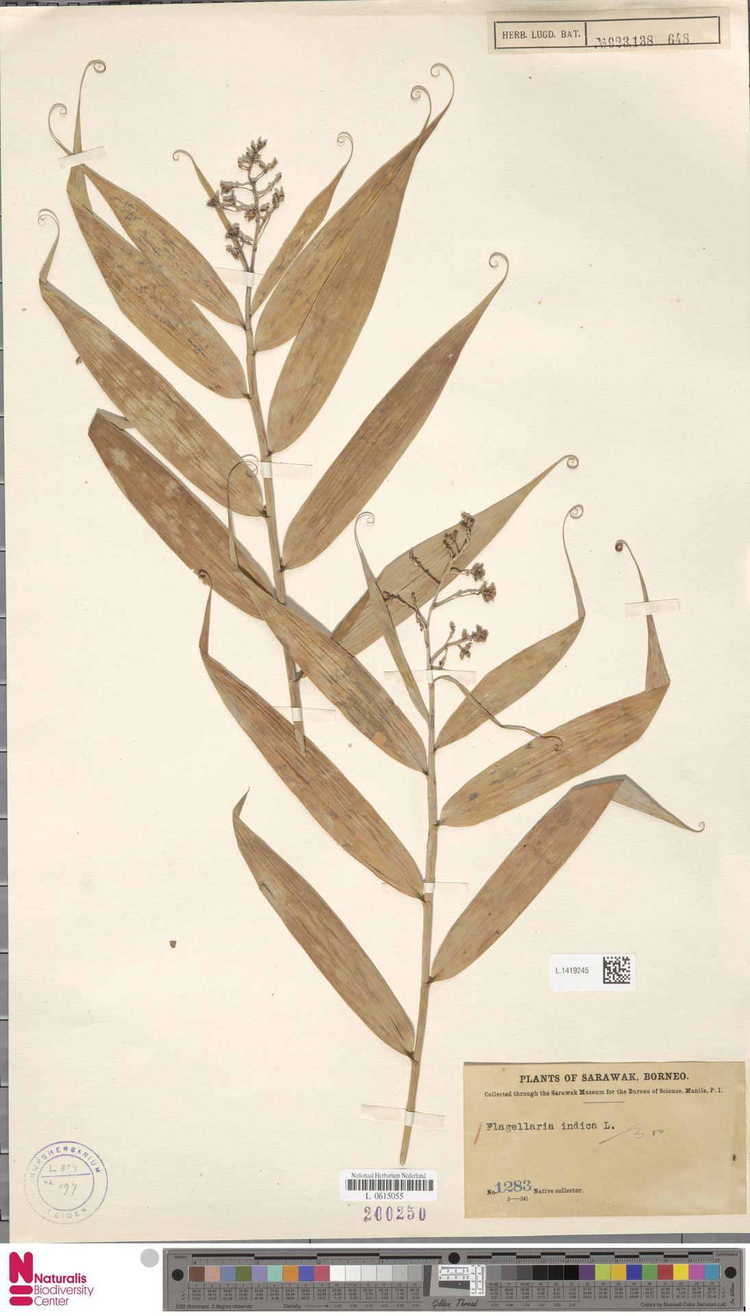 L.1419245 | Flagellaria indica L.