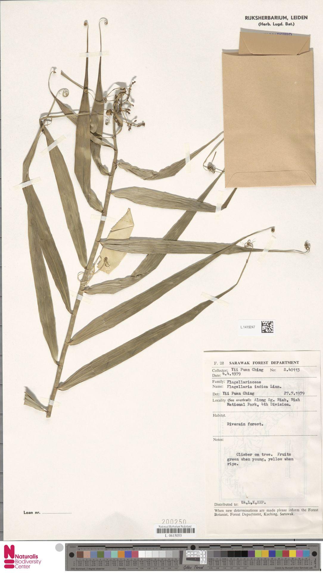 L.1419247 | Flagellaria indica L.