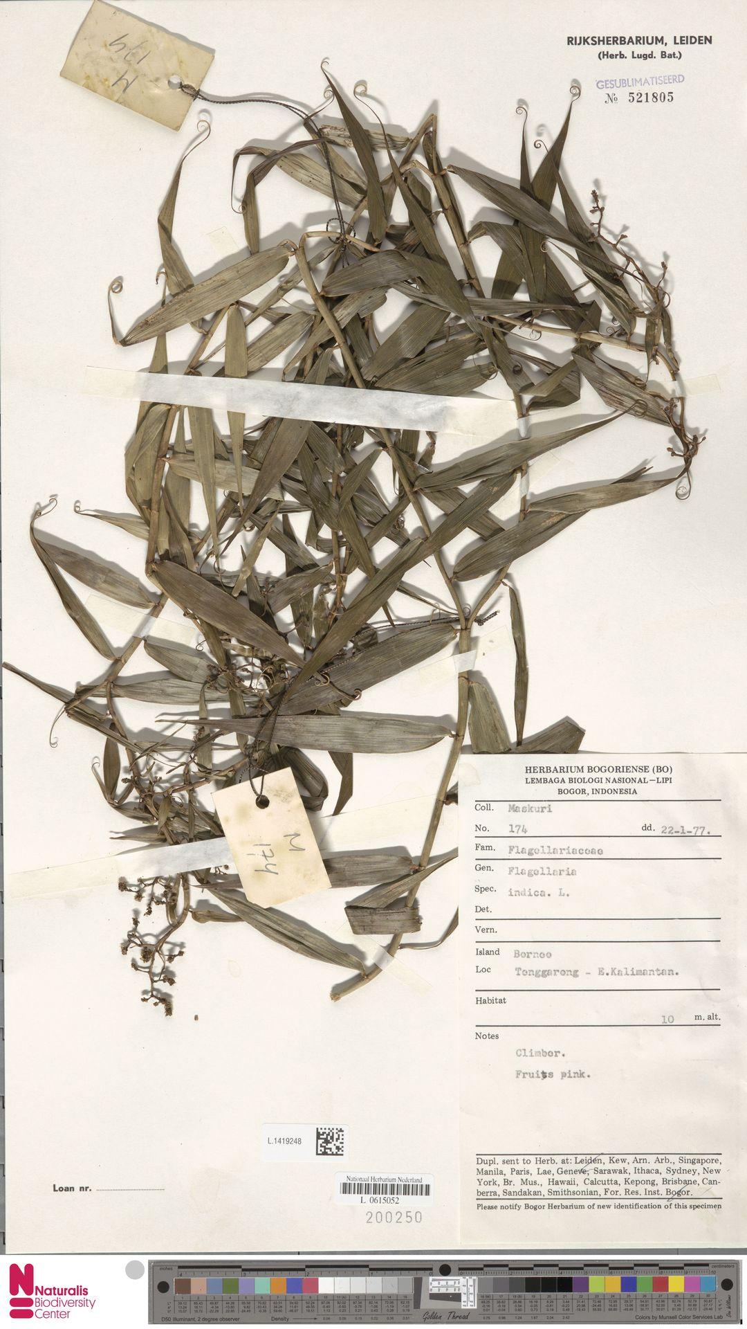 L.1419248 | Flagellaria indica L.