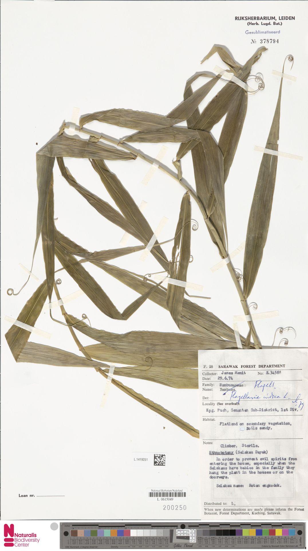 L.1419251 | Flagellaria indica L.