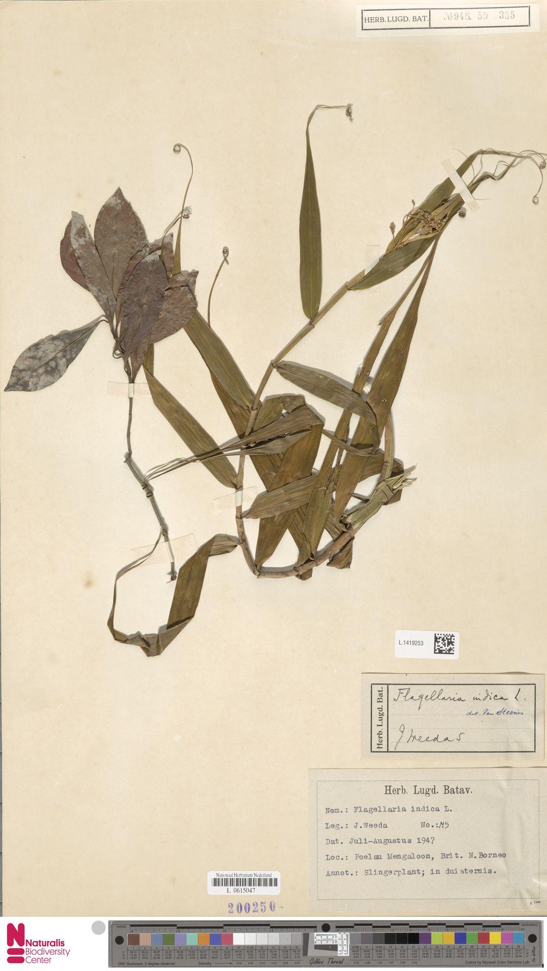 L.1419253 | Flagellaria indica L.