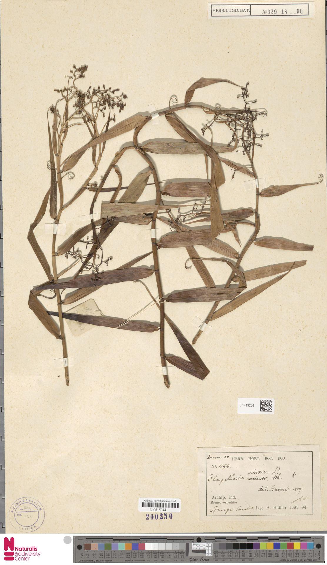 L.1419256 | Flagellaria indica L.