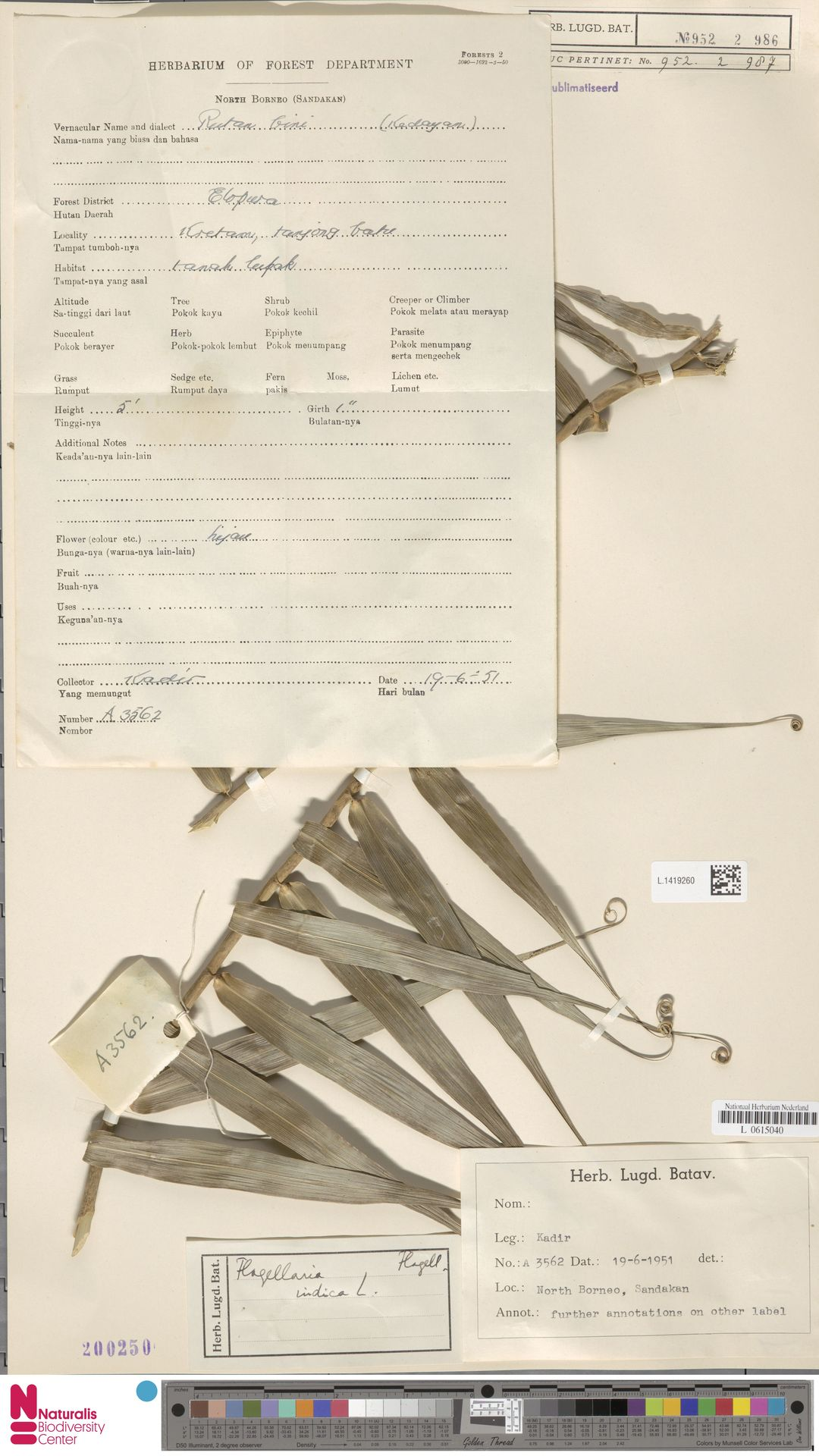 L.1419260 | Flagellaria indica L.