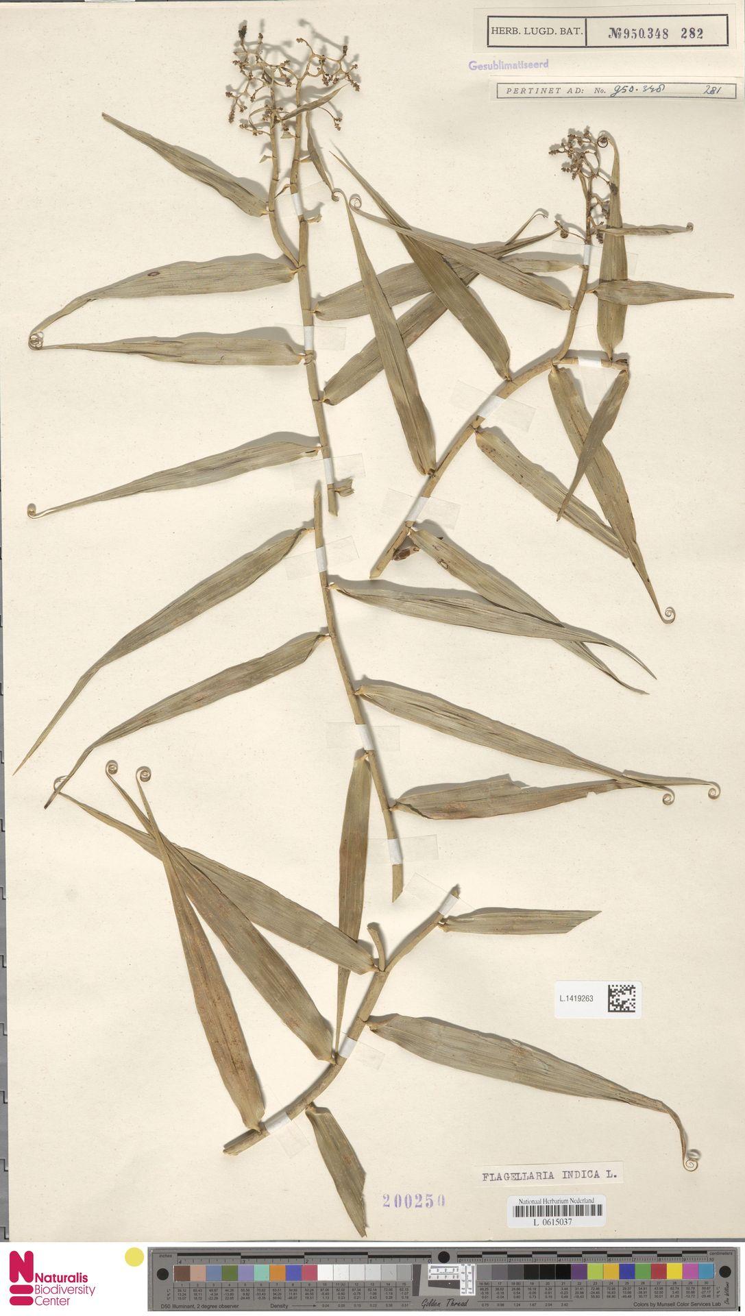 L.1419263 | Flagellaria indica L.