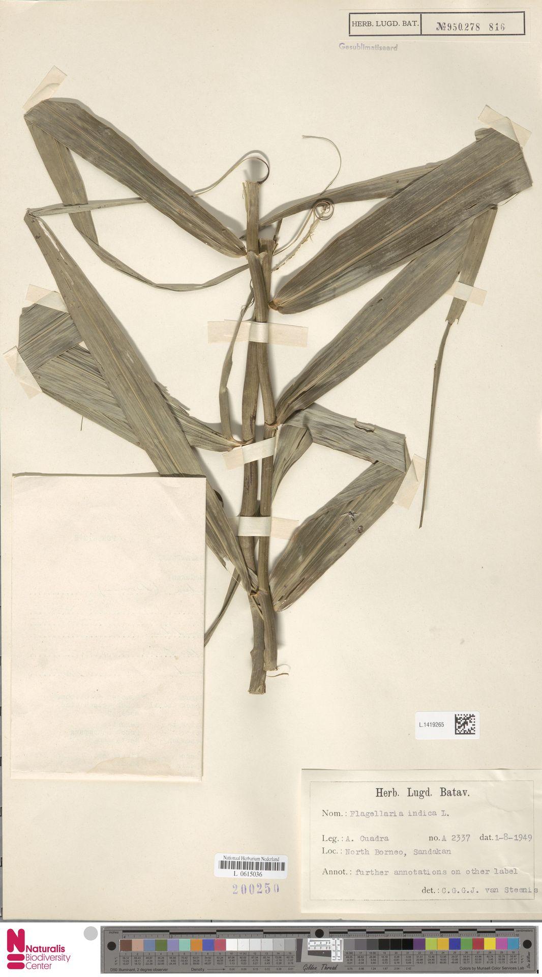 L.1419265 | Flagellaria indica L.