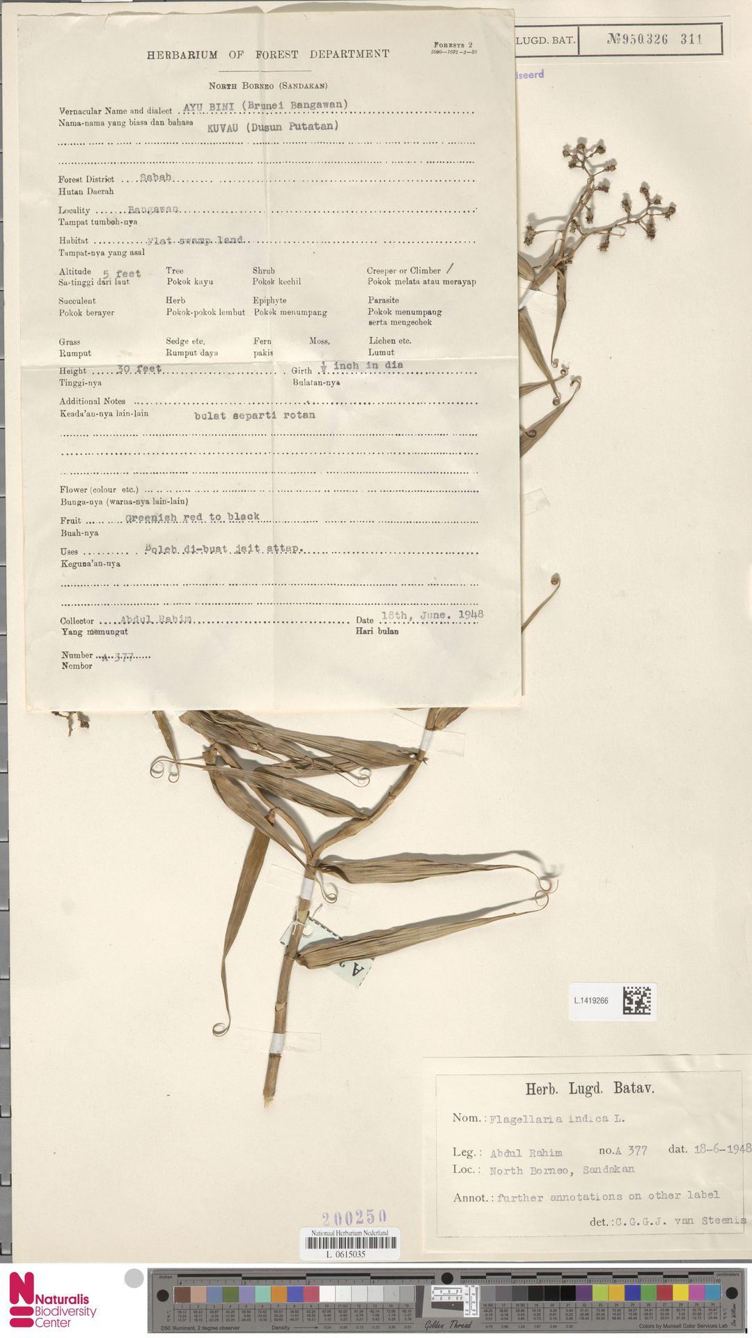 L.1419266 | Flagellaria indica L.