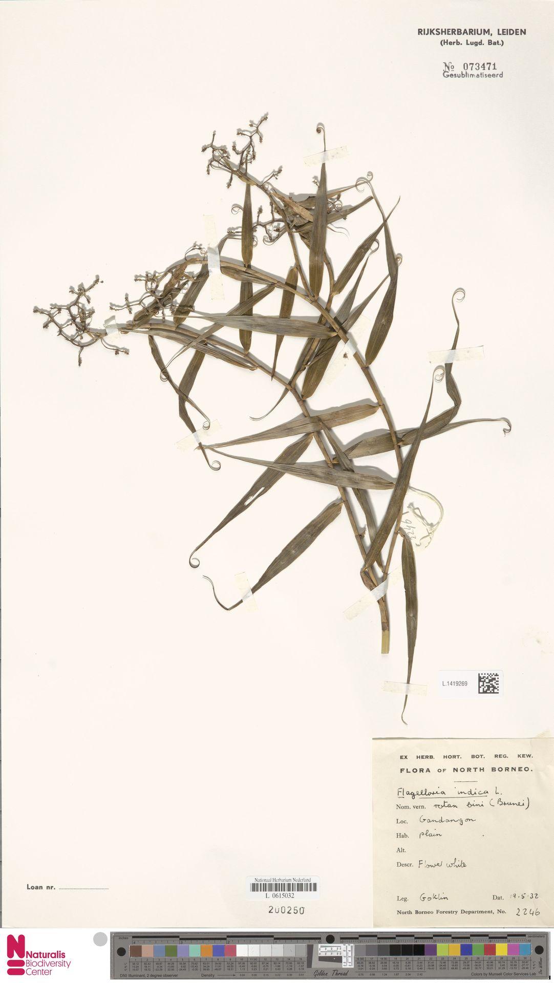 L.1419269 | Flagellaria indica L.