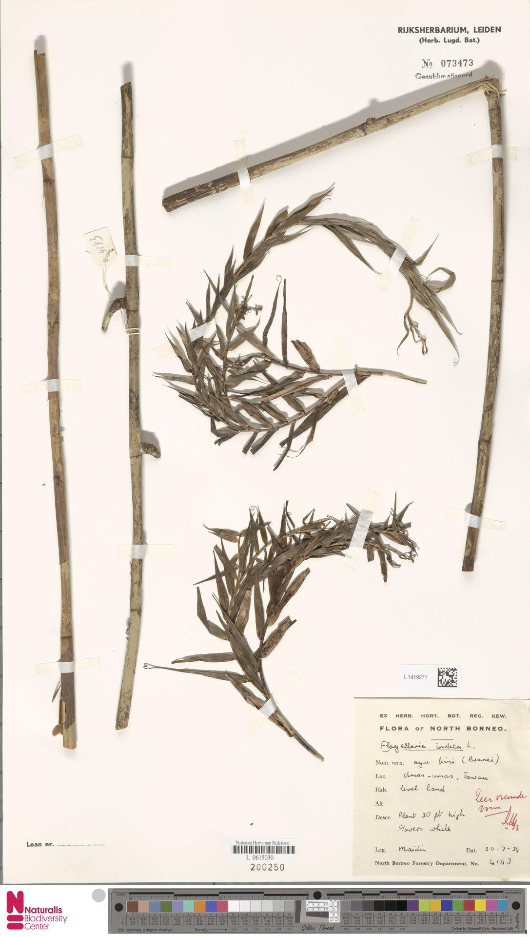 L.1419271 | Flagellaria indica L.