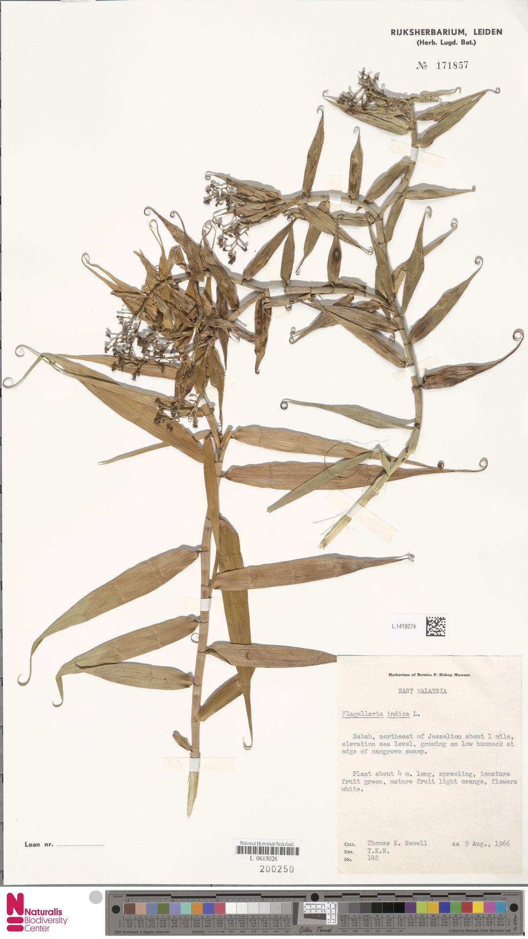 L.1419274 | Flagellaria indica L.