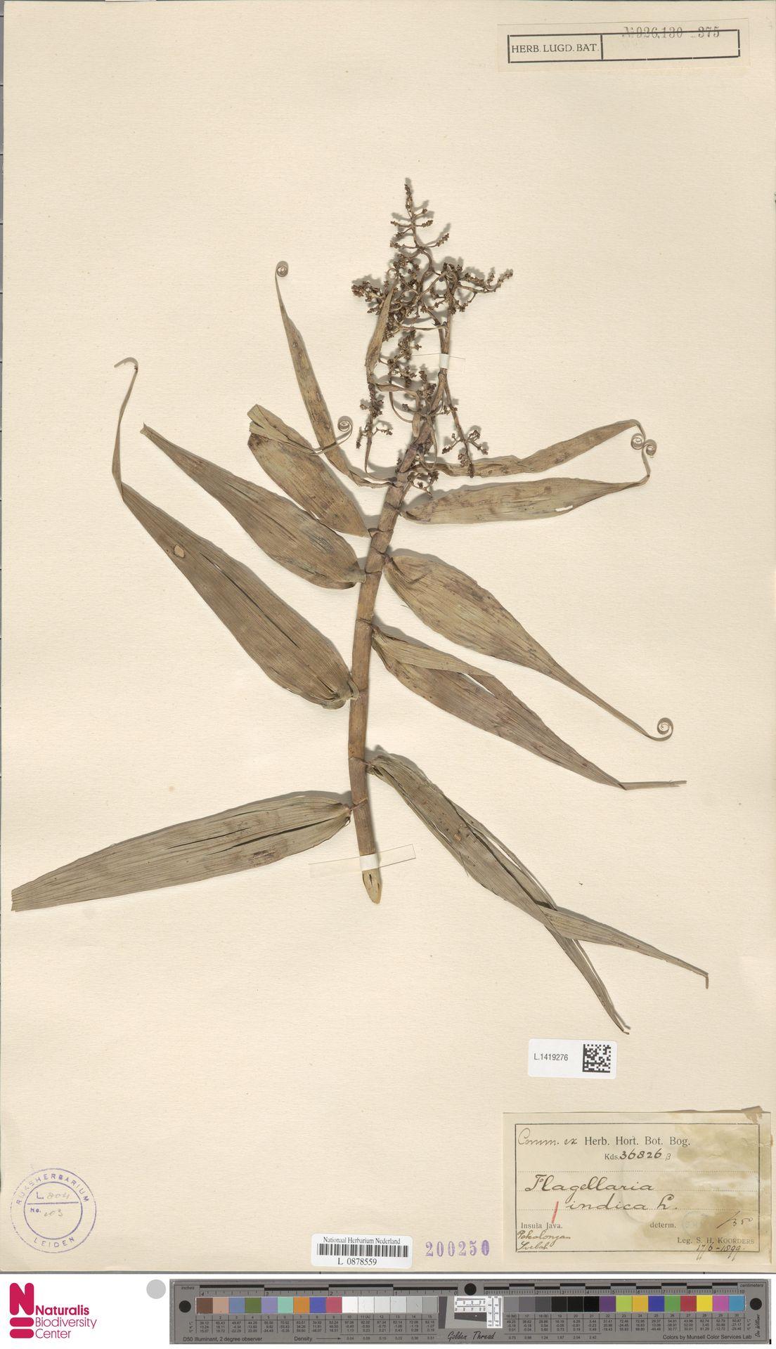 L.1419276 | Flagellaria indica L.