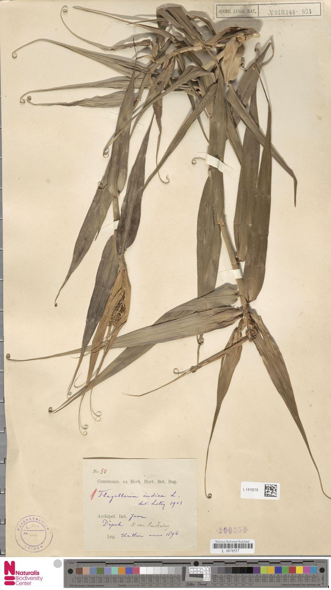 L.1419278 | Flagellaria indica L.