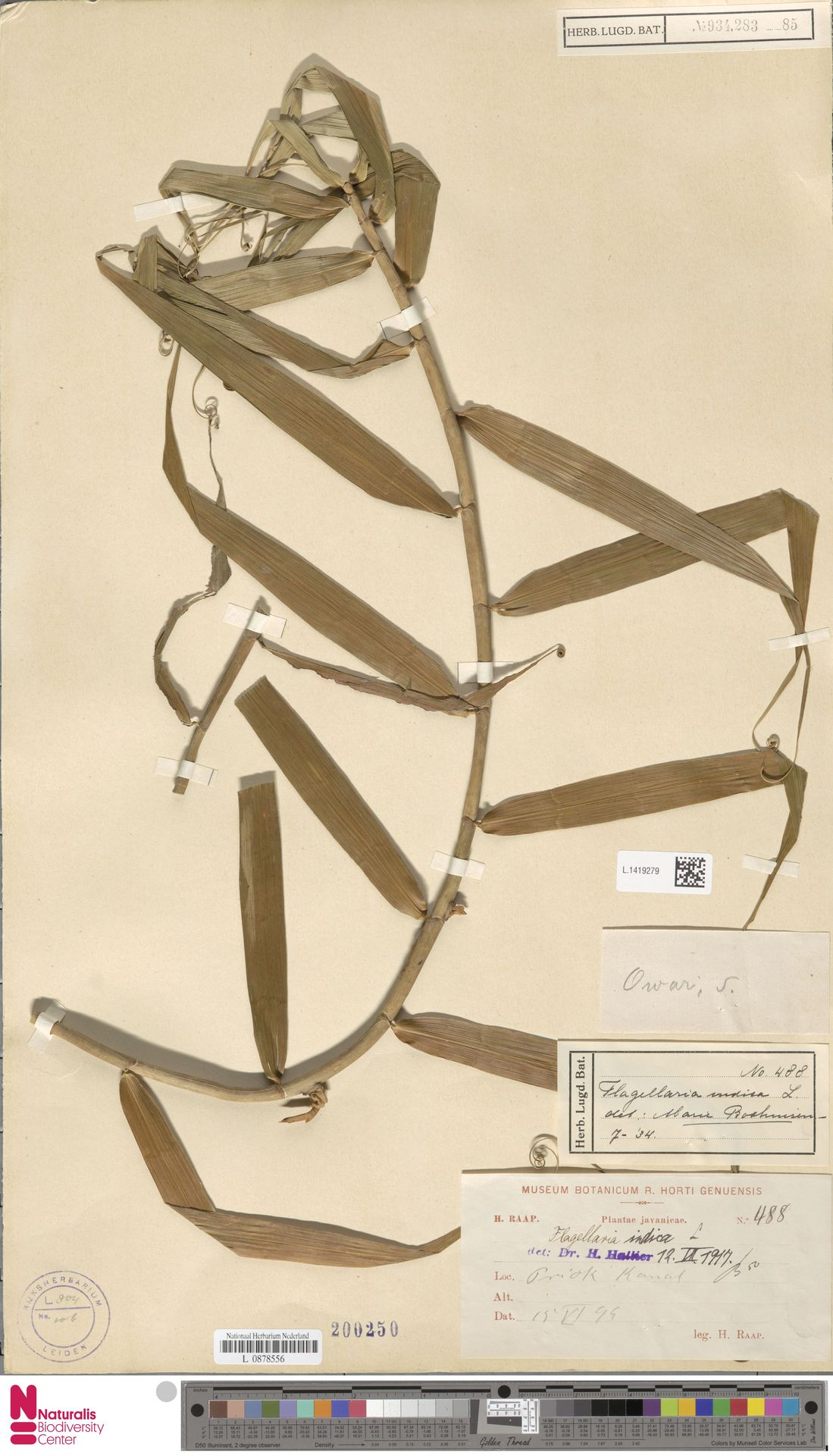 L.1419279 | Flagellaria indica L.