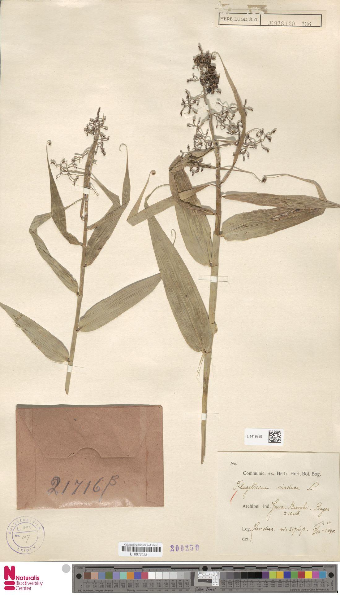 L.1419280 | Flagellaria indica L.