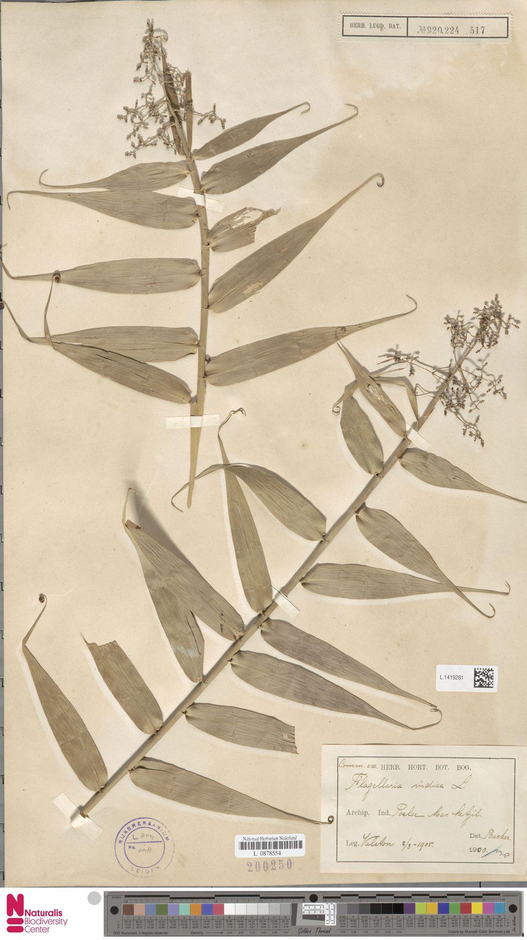 L.1419281 | Flagellaria indica L.