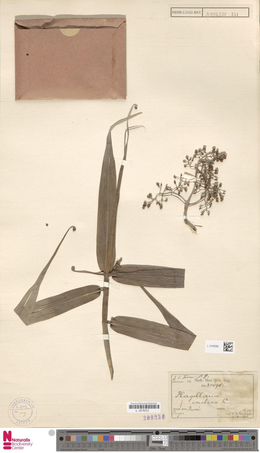 L.1419282 | Flagellaria indica L.