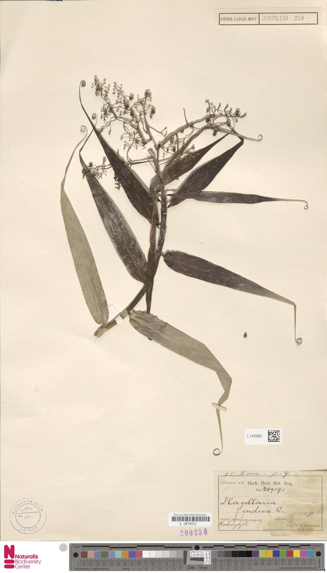 L.1419283 | Flagellaria indica L.