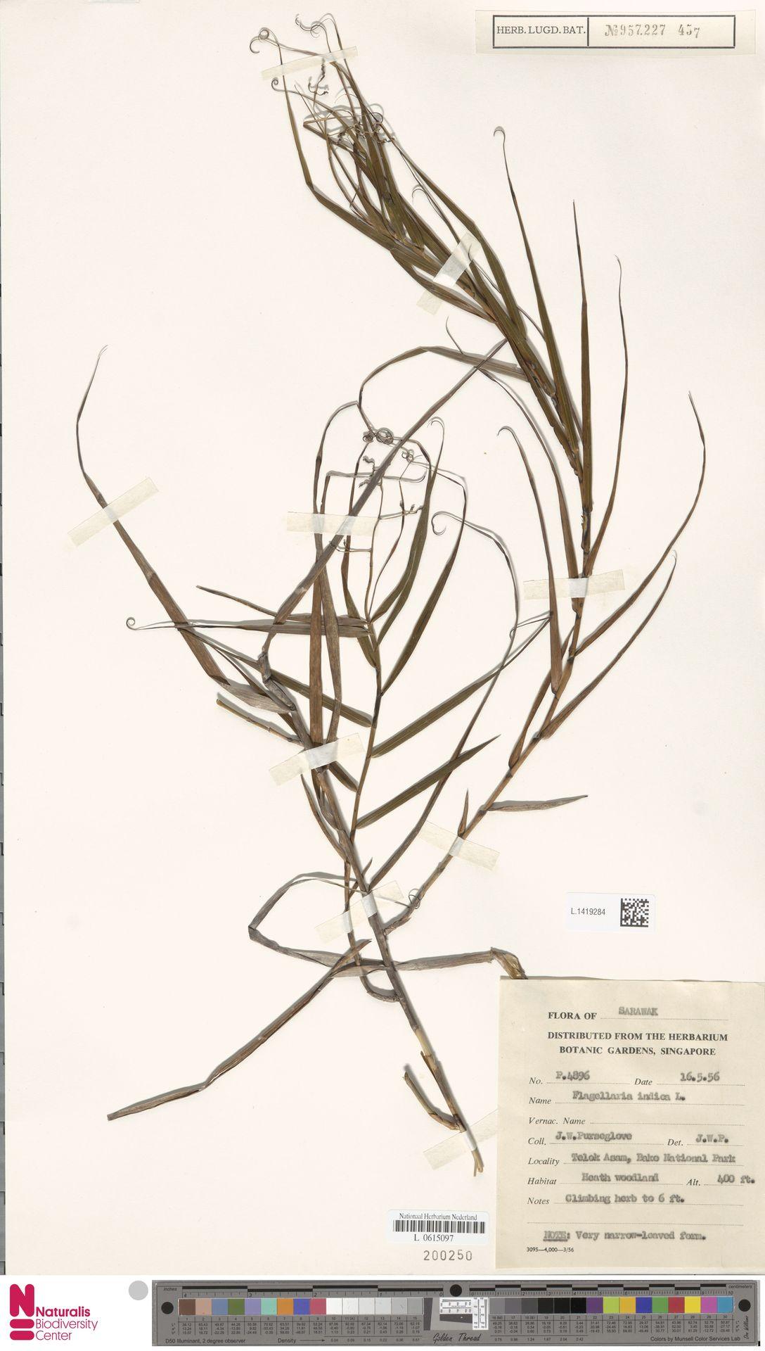 L.1419284 | Flagellaria indica L.