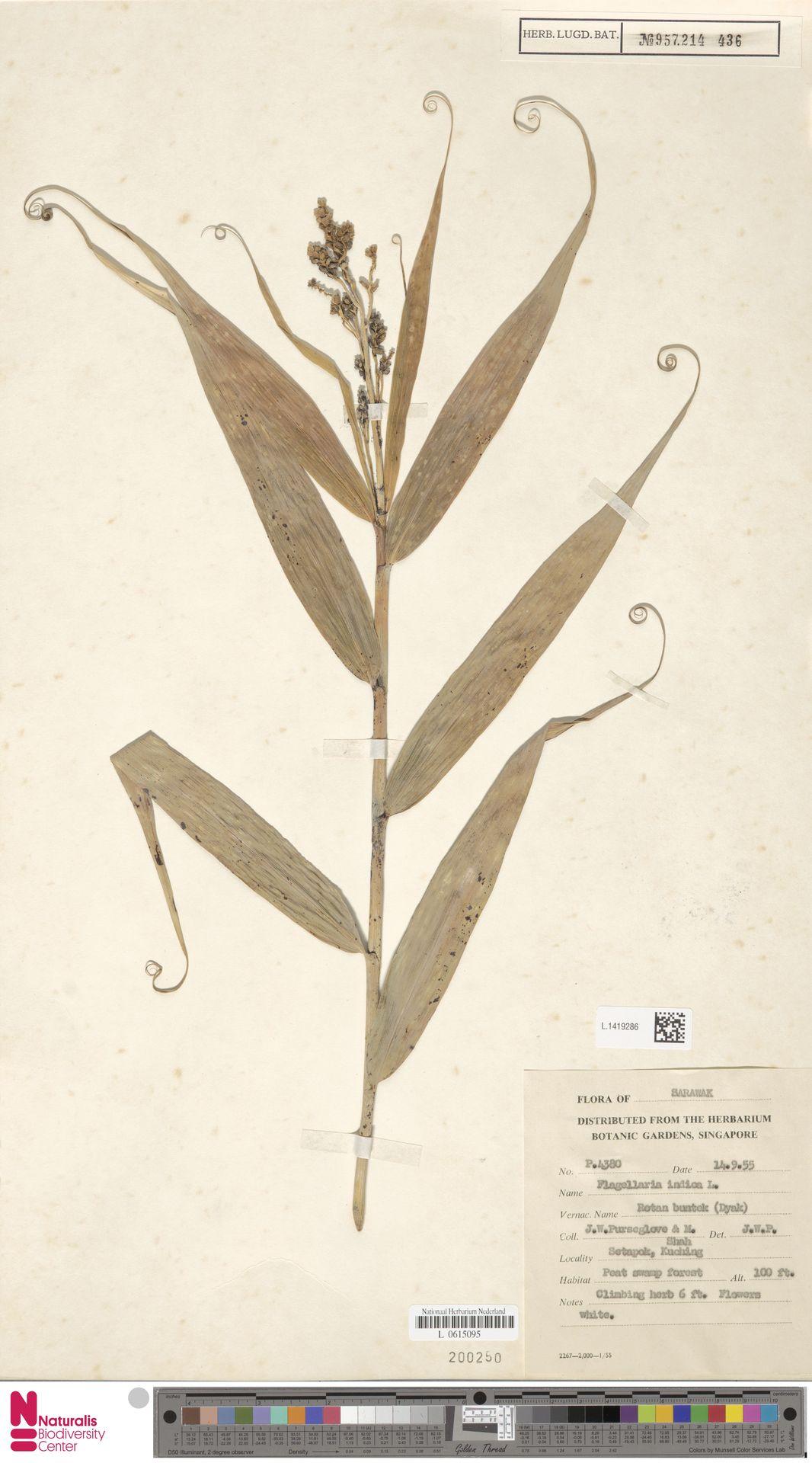 L.1419286 | Flagellaria indica L.