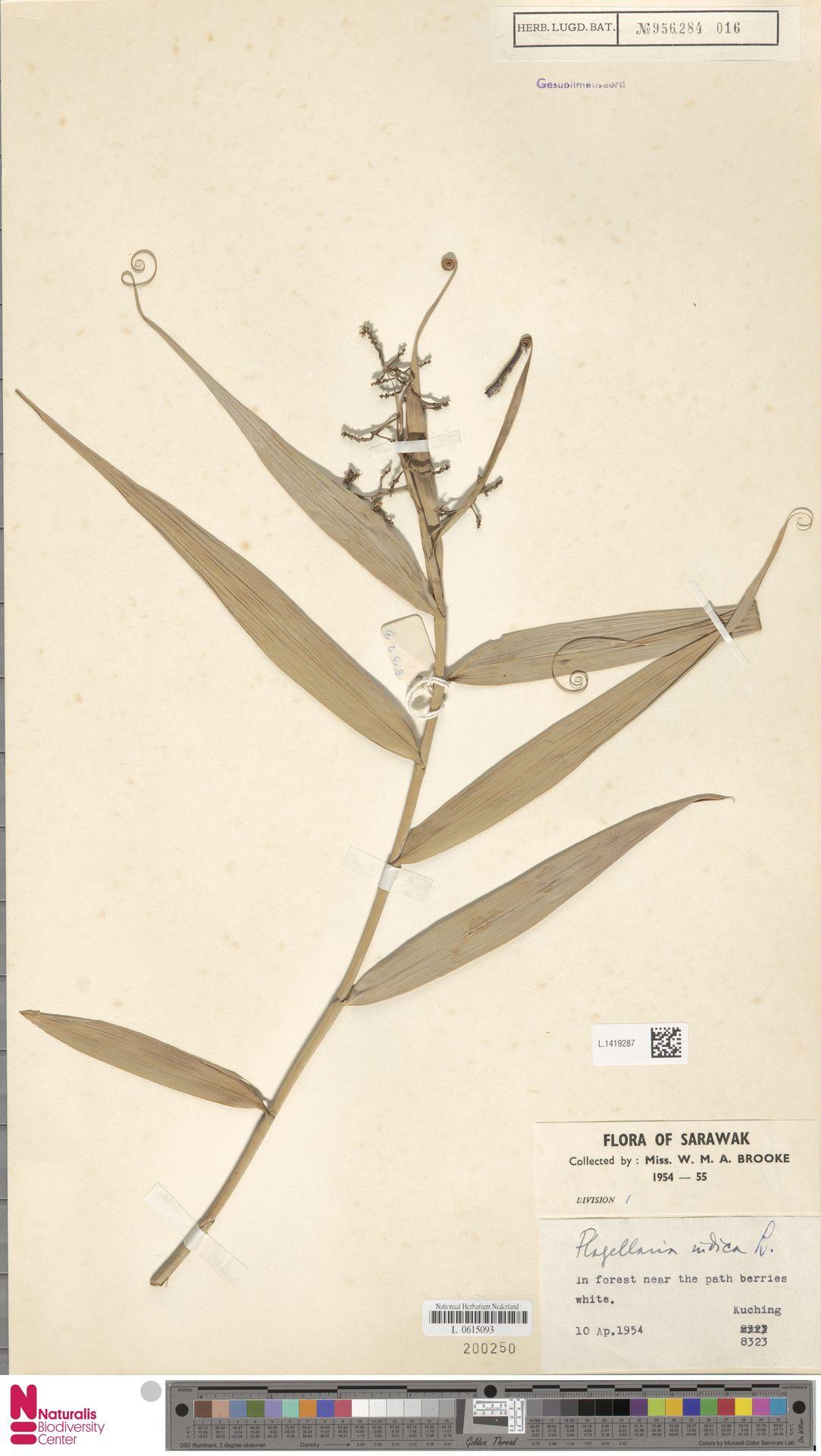L.1419287 | Flagellaria indica L.