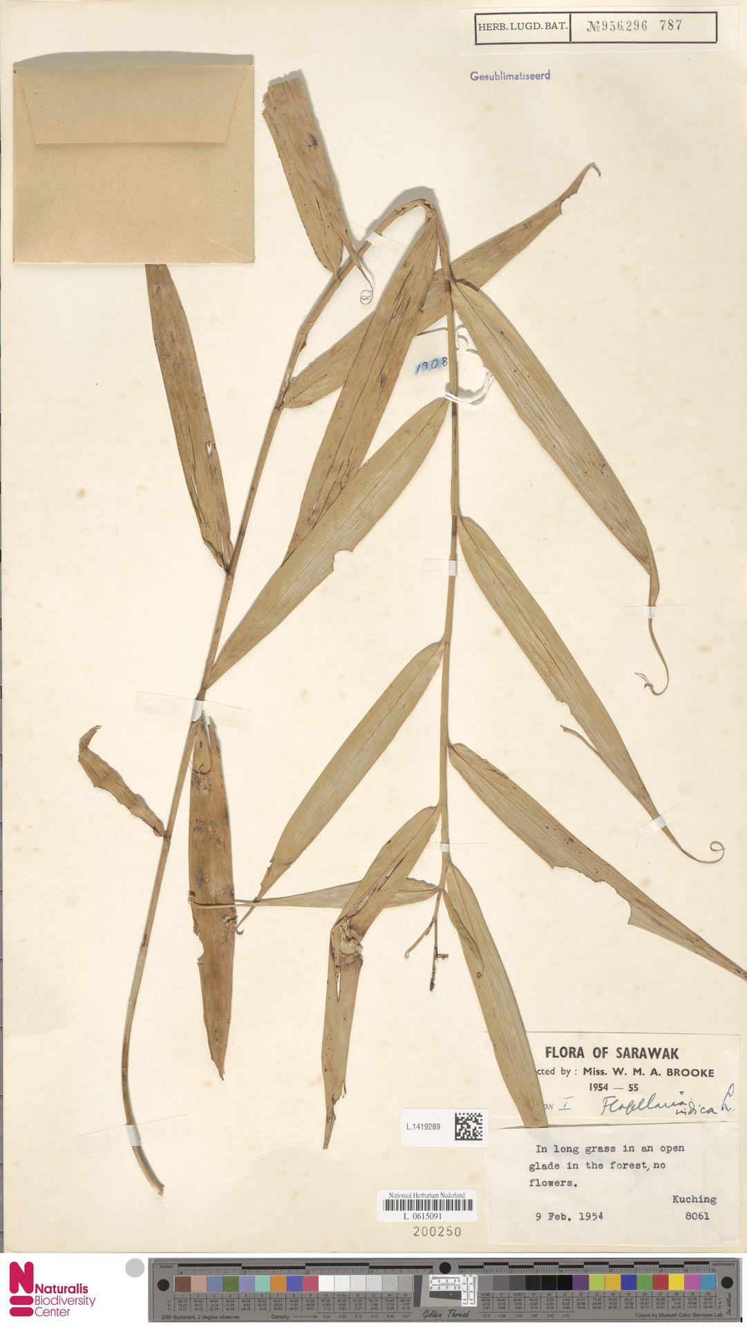 L.1419289 | Flagellaria indica L.