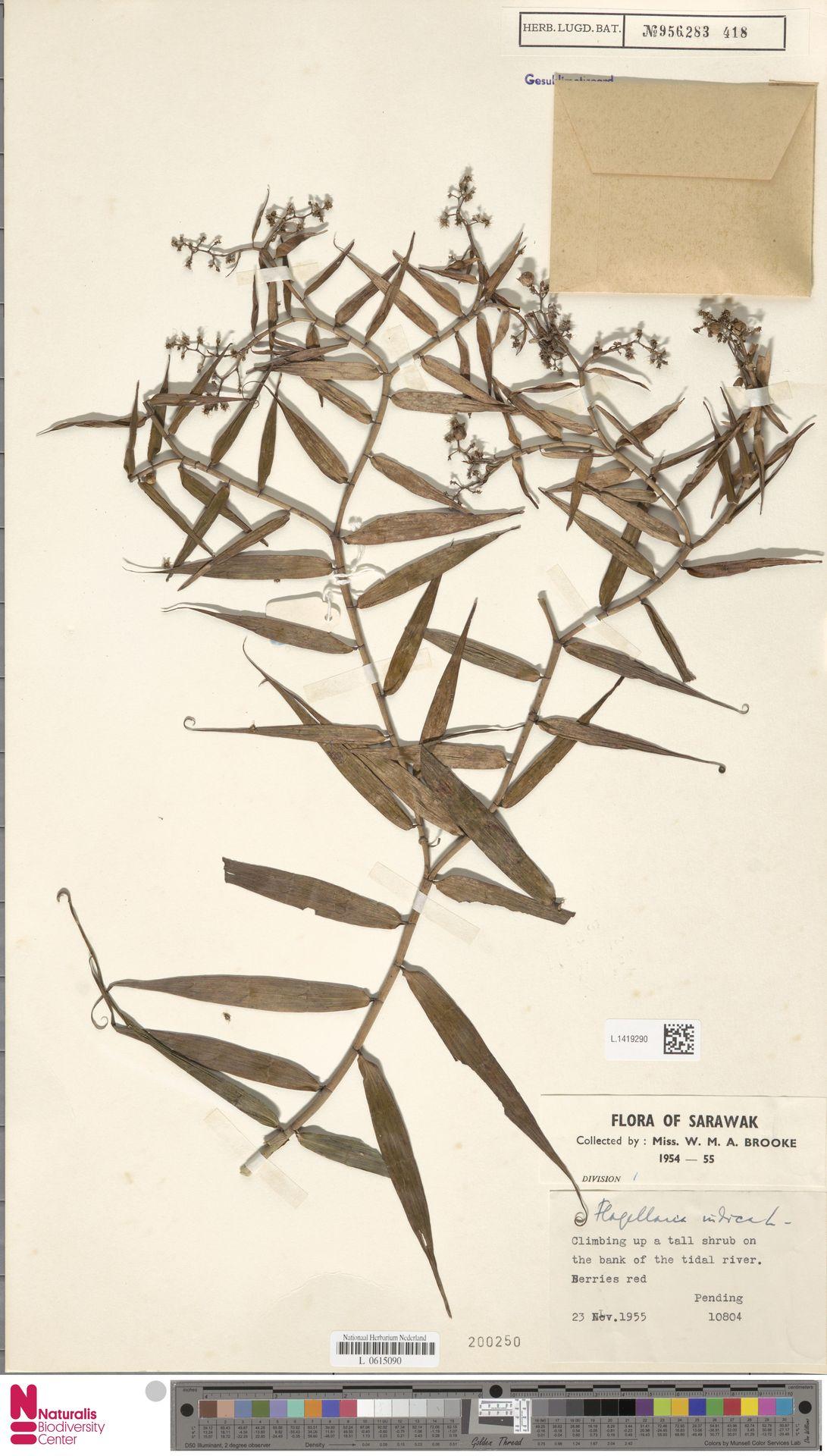 L.1419290   Flagellaria indica L.