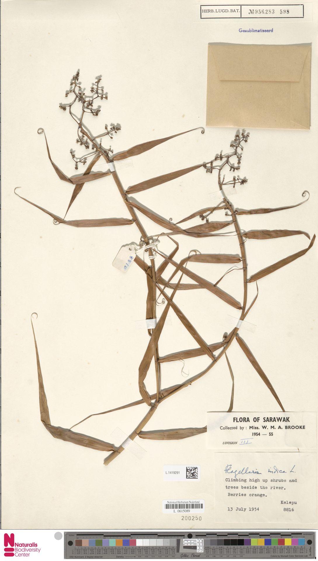 L.1419291 | Flagellaria indica L.