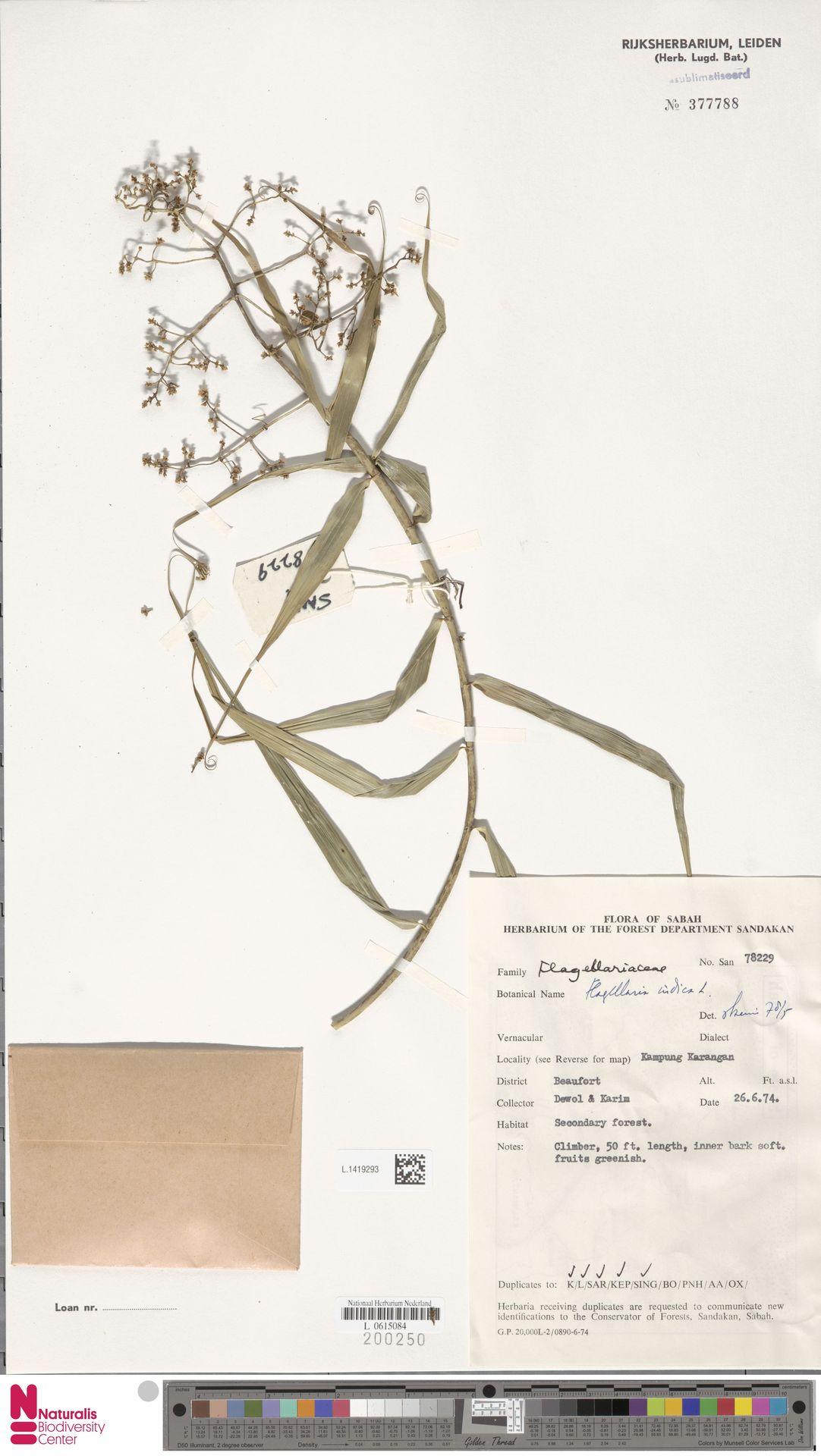 L.1419293 | Flagellaria indica L.