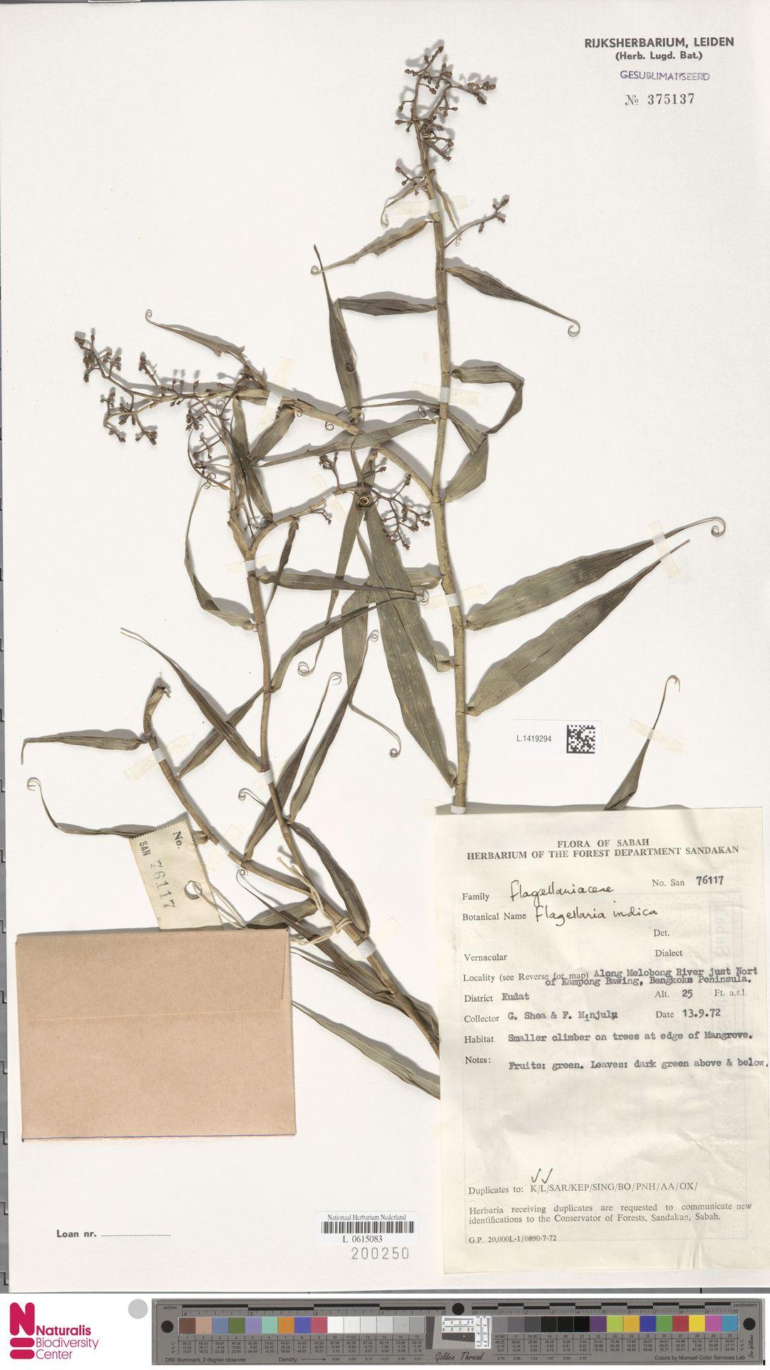 L.1419294 | Flagellaria indica L.