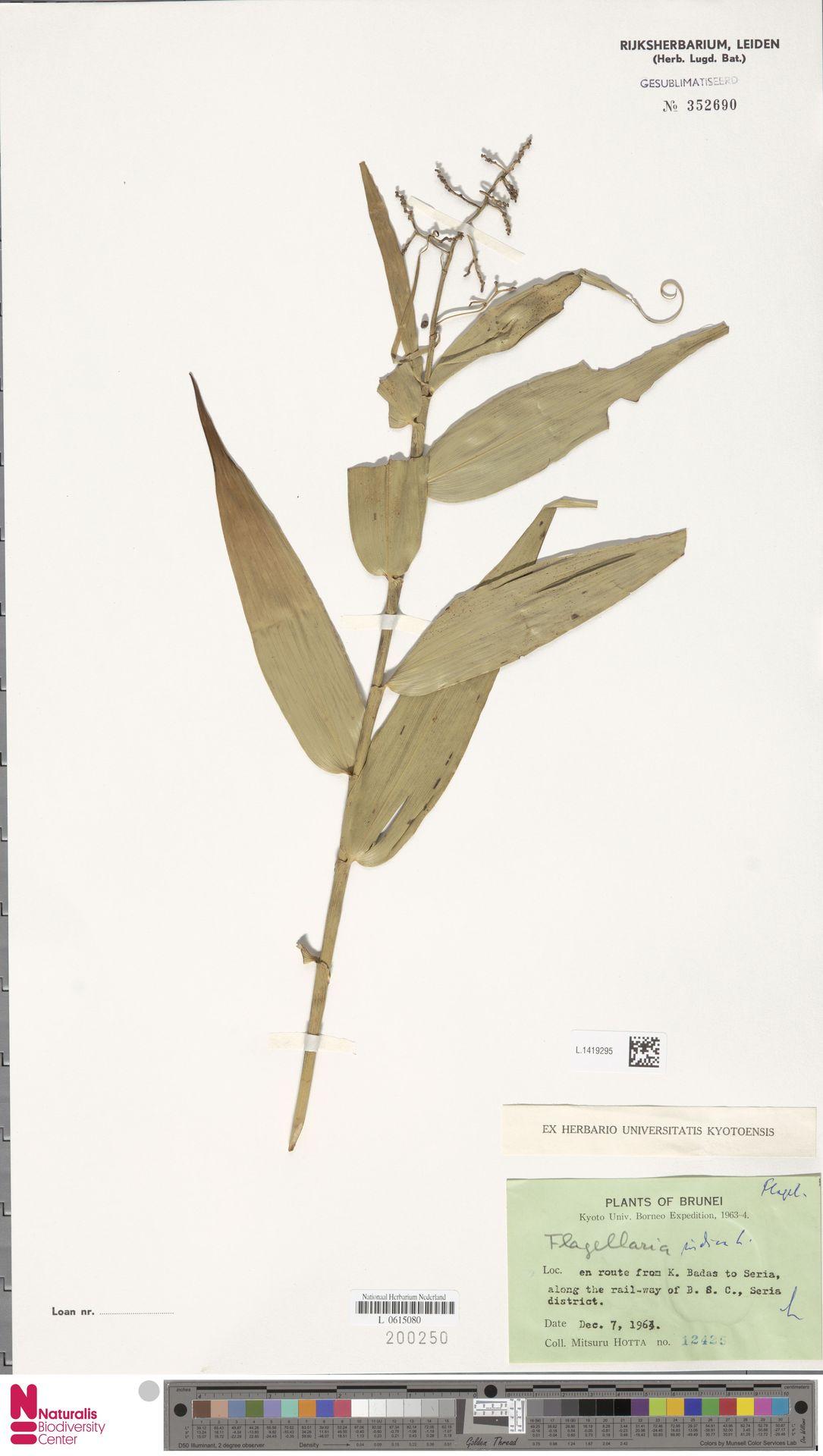 L.1419295 | Flagellaria indica L.