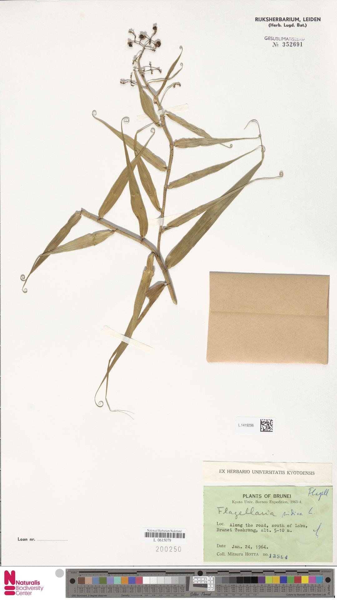 L.1419296 | Flagellaria indica L.