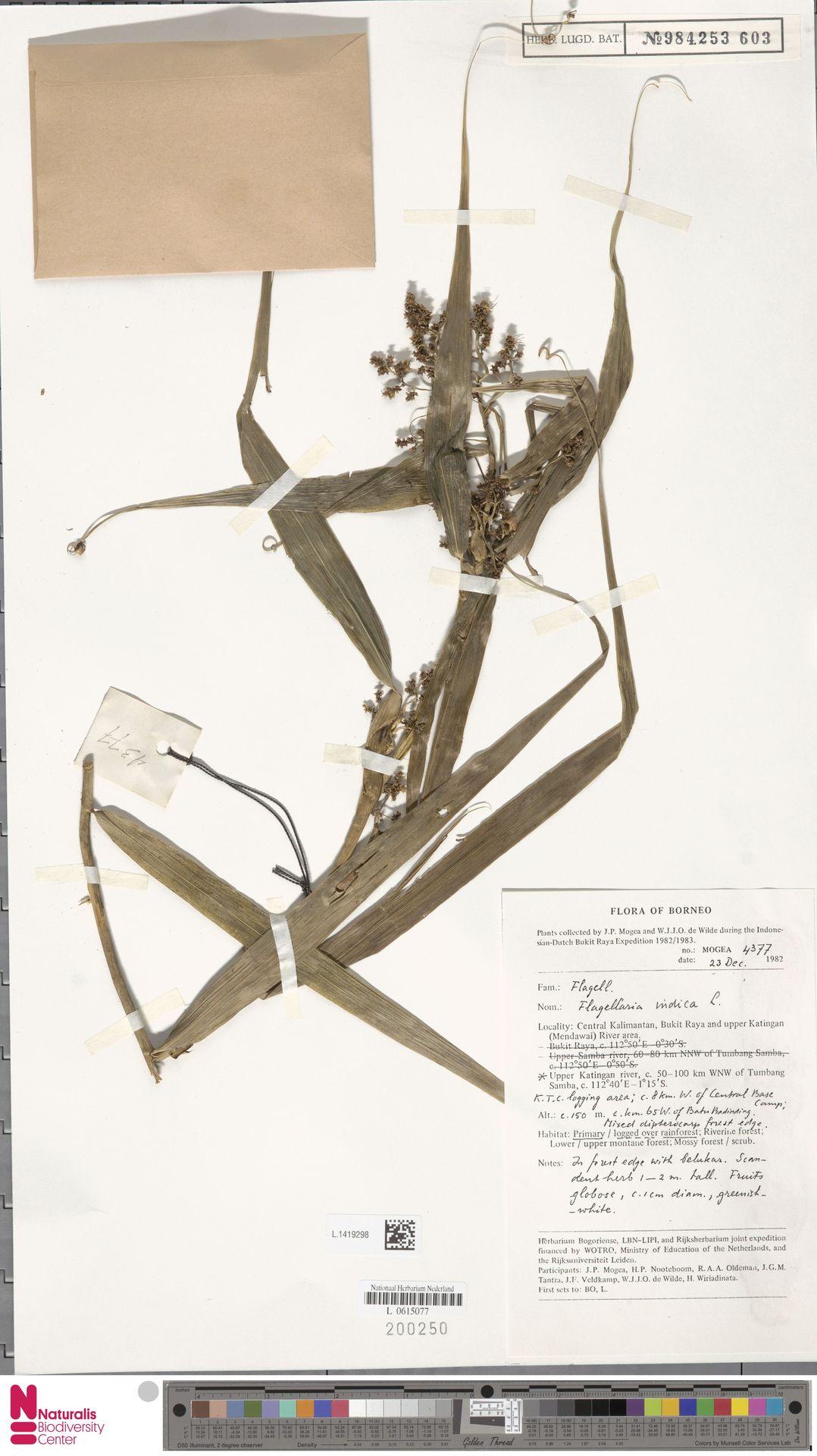 L.1419298 | Flagellaria indica L.