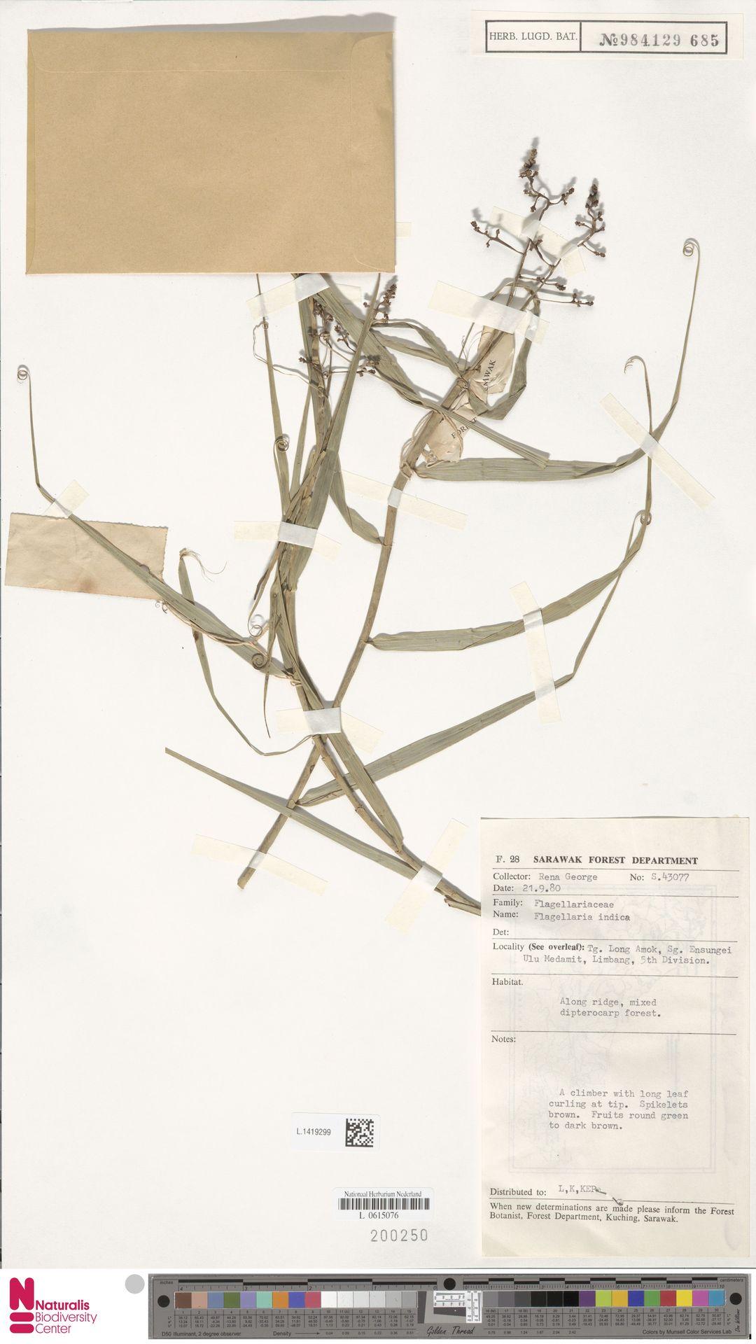 L.1419299 | Flagellaria indica L.