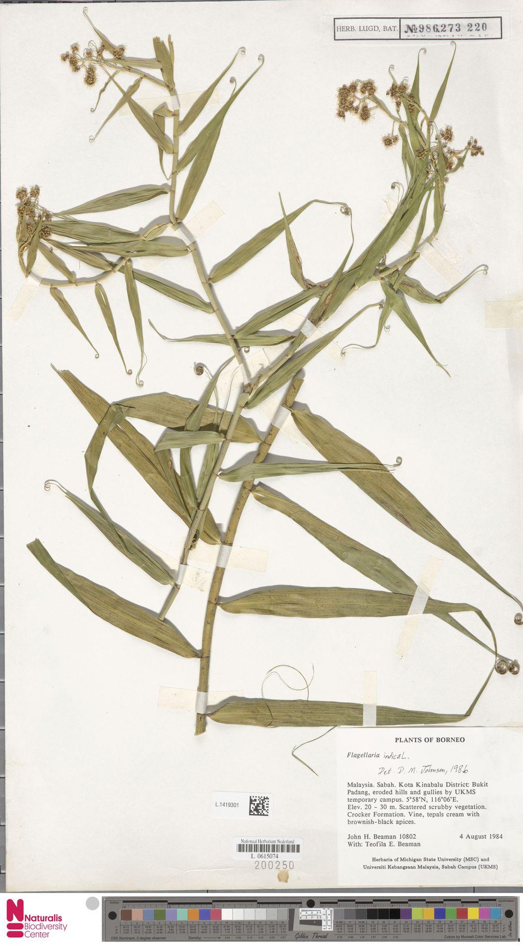 L.1419301 | Flagellaria indica L.