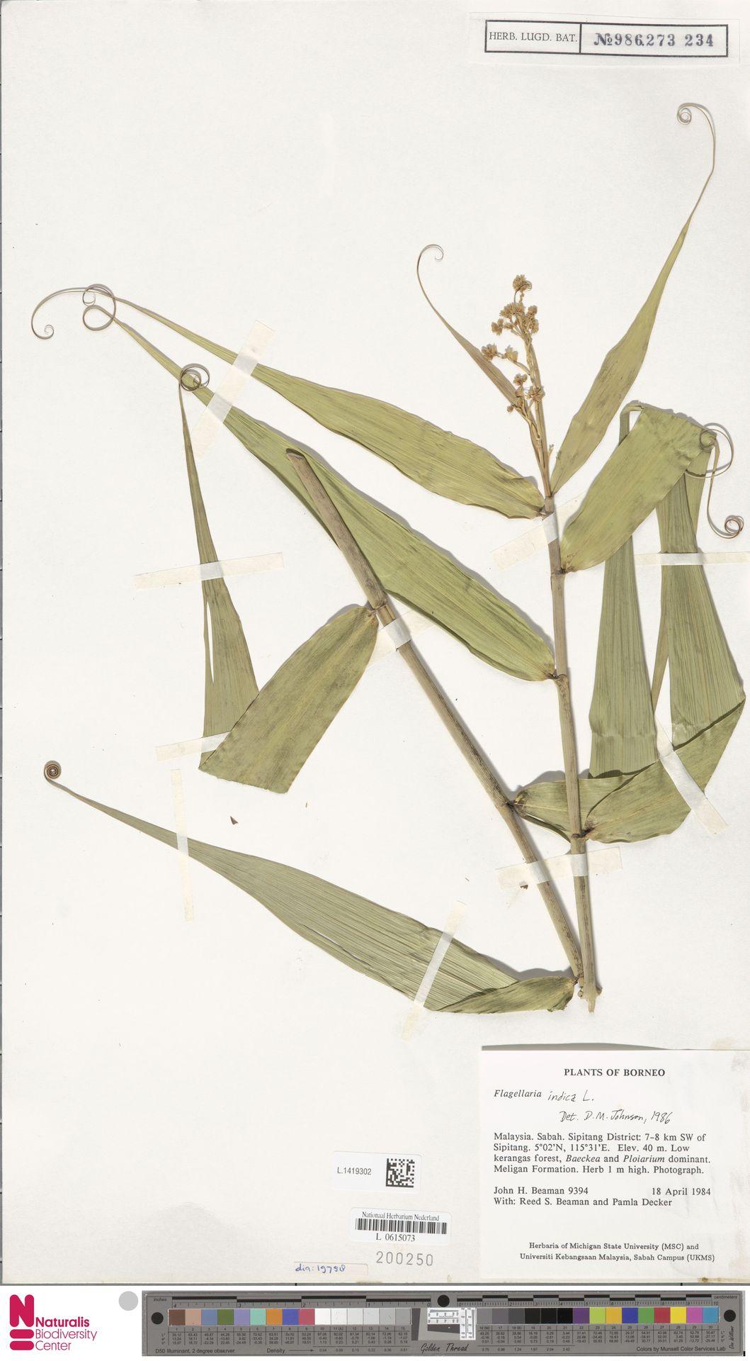 L.1419302 | Flagellaria indica L.