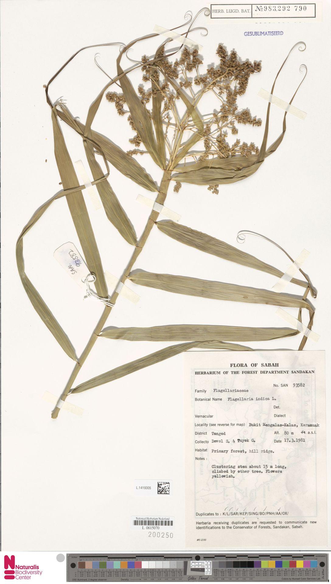 L.1419305 | Flagellaria indica L.
