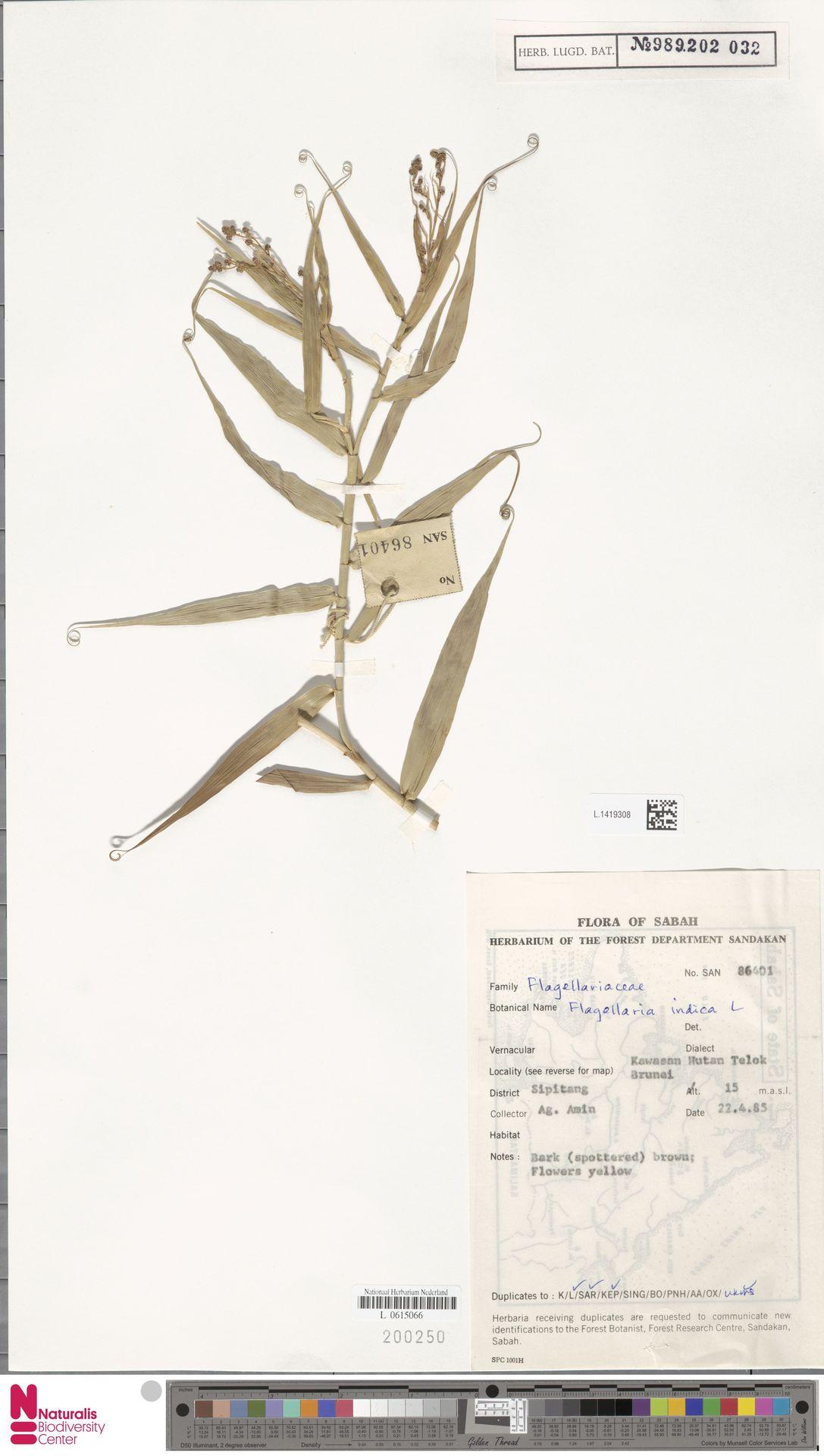 L.1419308 | Flagellaria indica L.